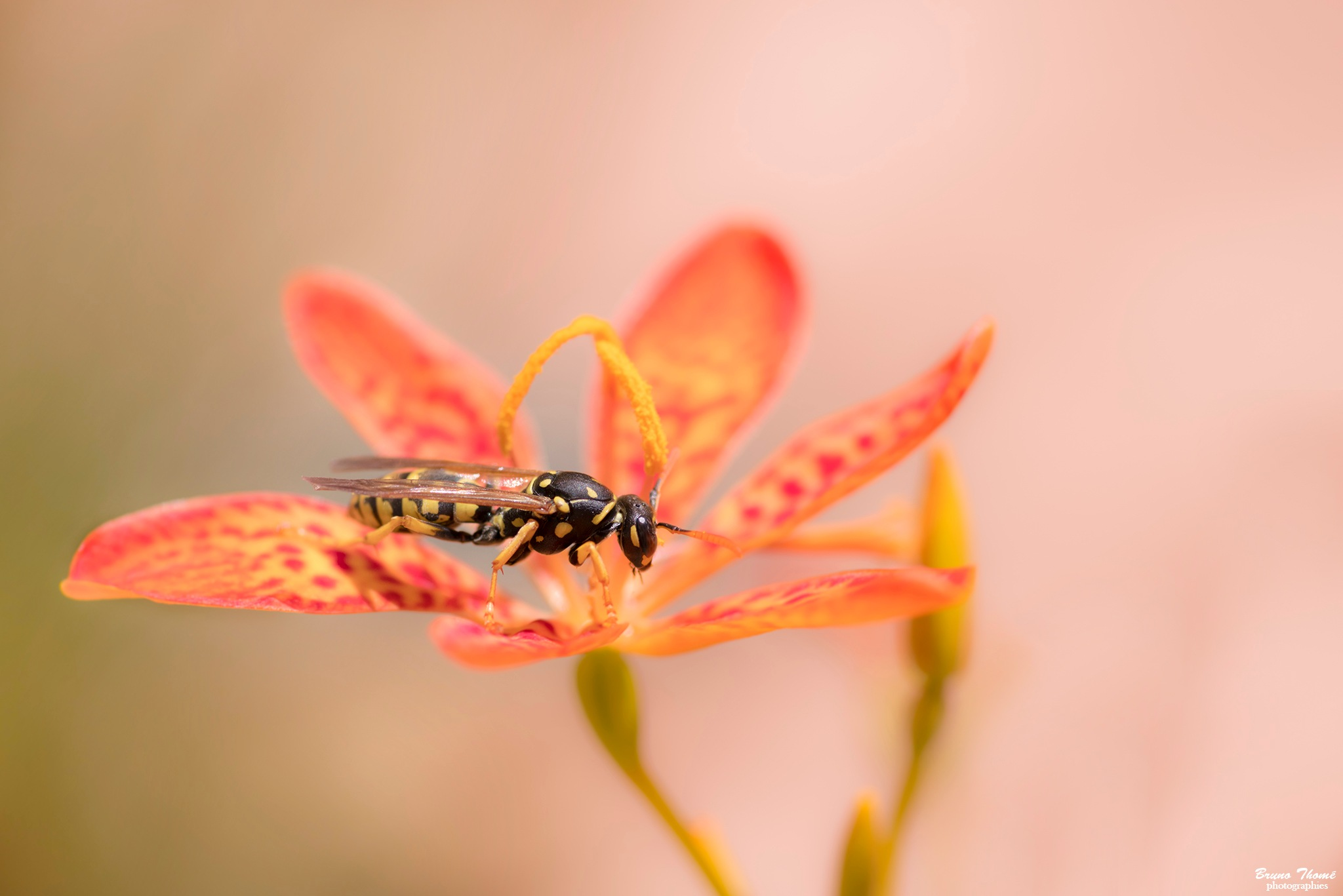 wasp by Bruno Thomé