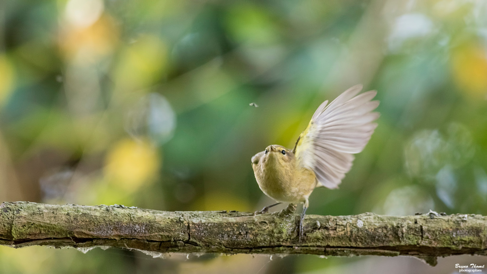 chiffchaff and the gnat by Bruno Thomé
