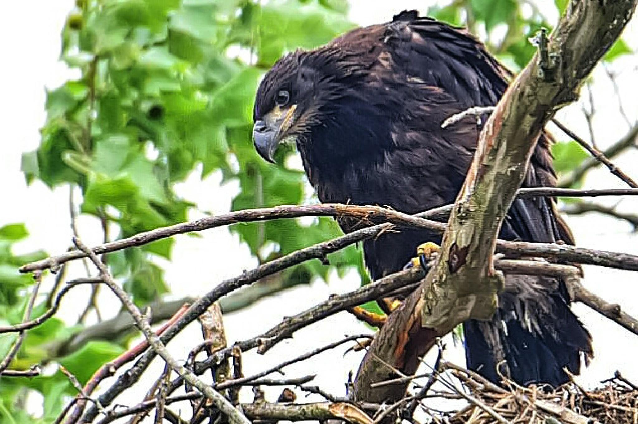 Juvenile Bald Eagle by Tom Kitchen
