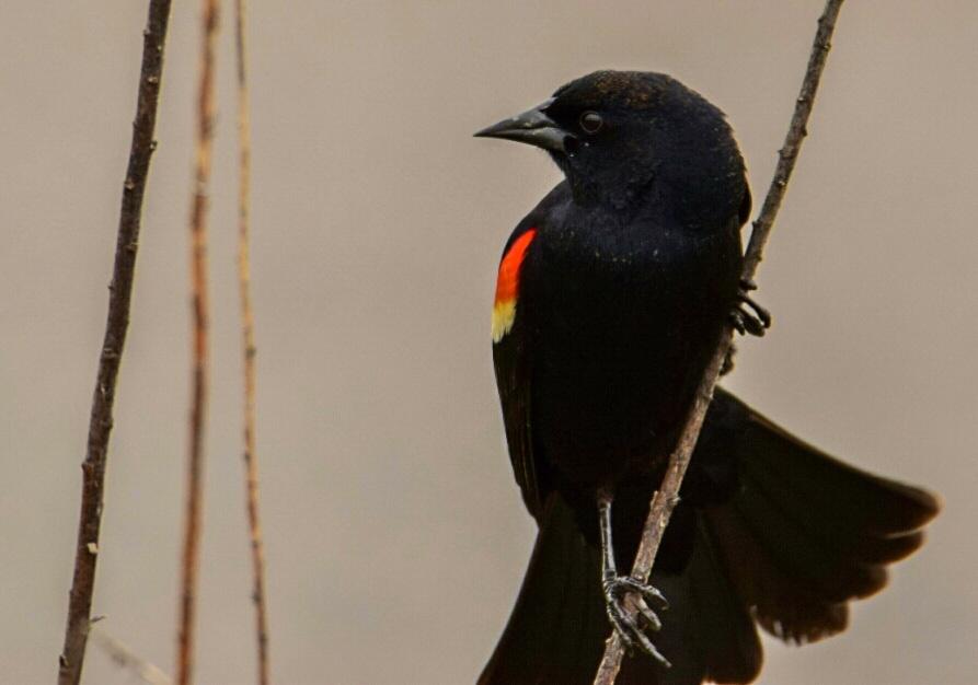 Red Winged Blackbird  by Tom Kitchen