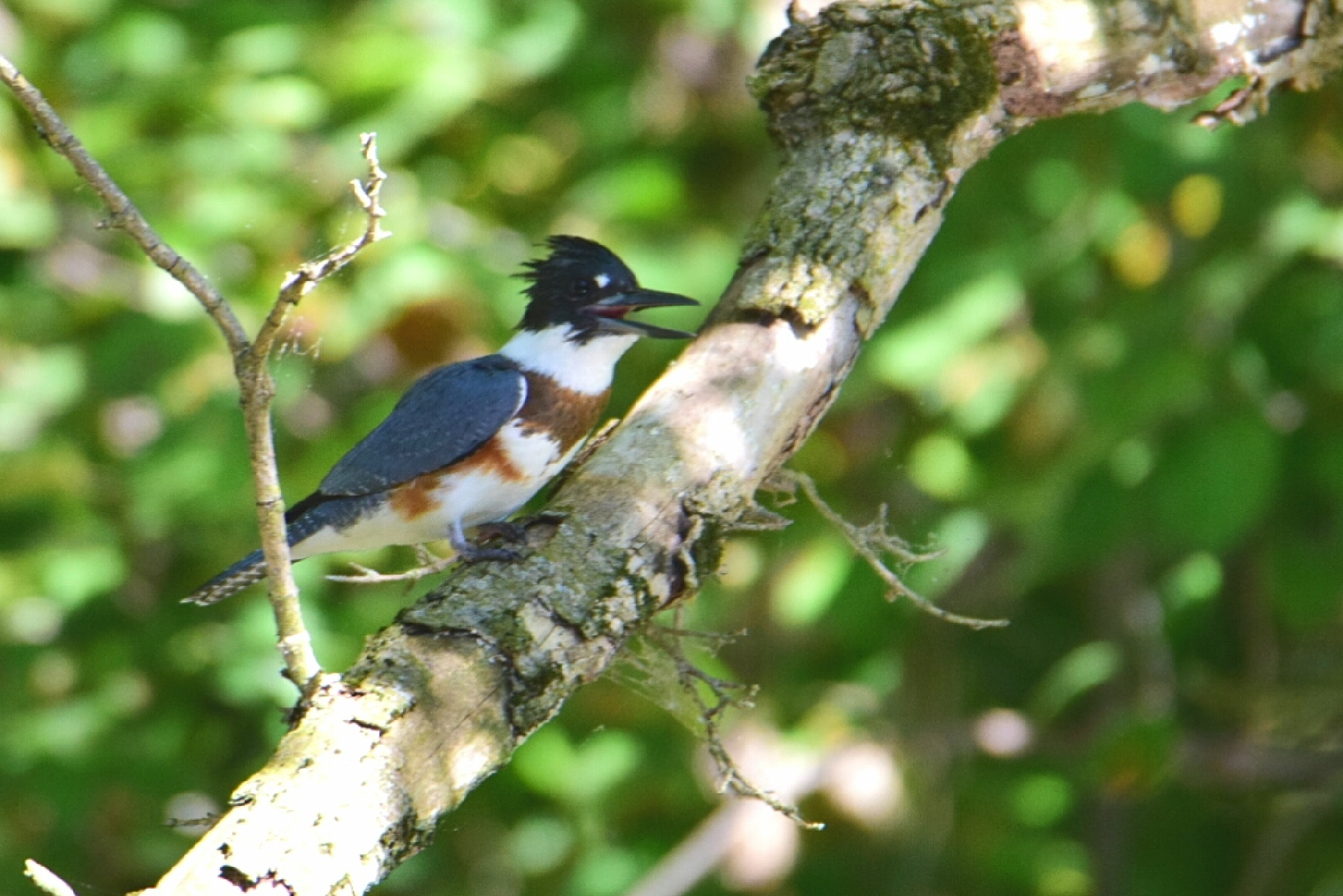 Female Belted Kingfisher by Tom Kitchen