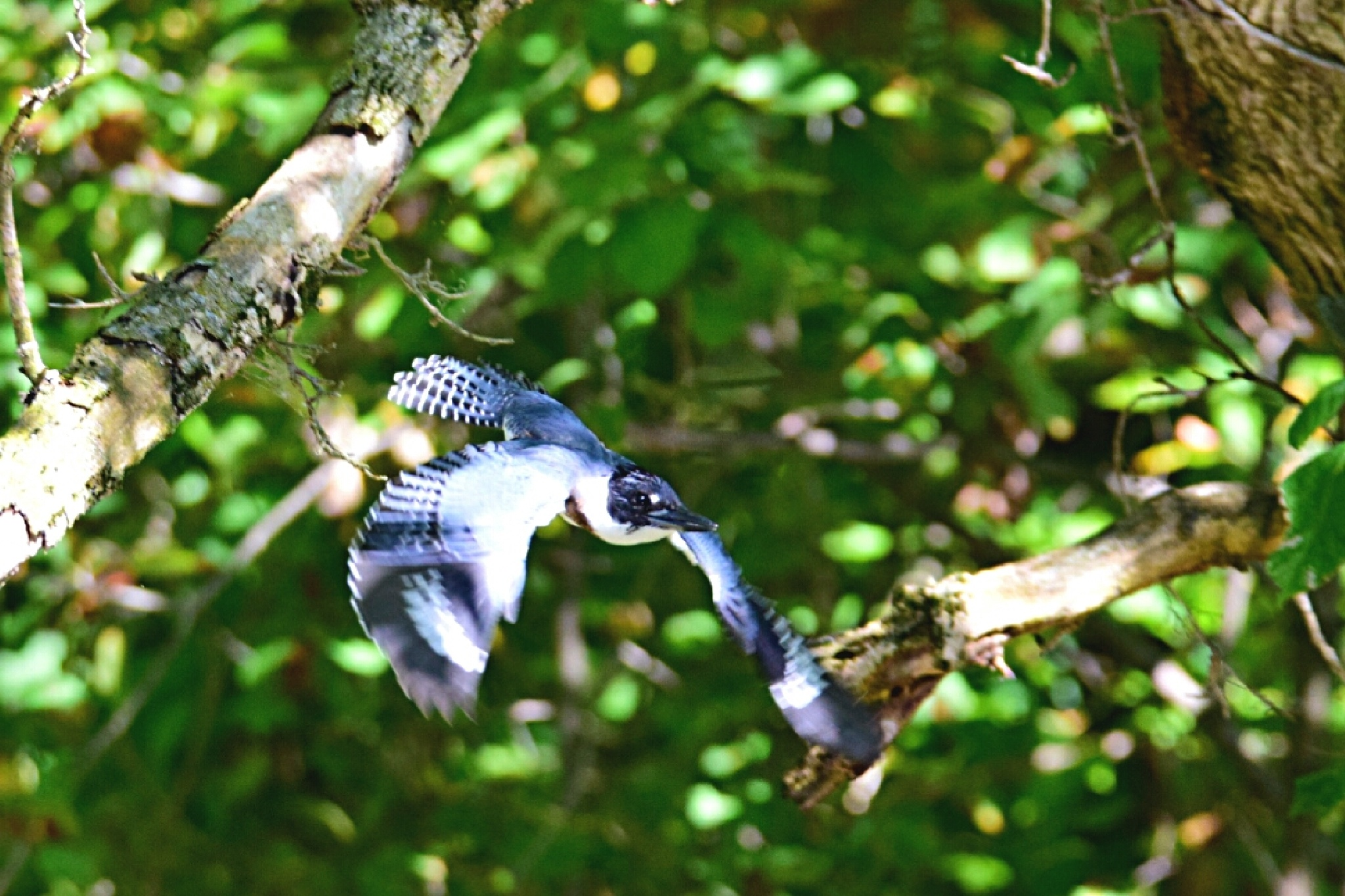 Belted Kingfisher by Tom Kitchen