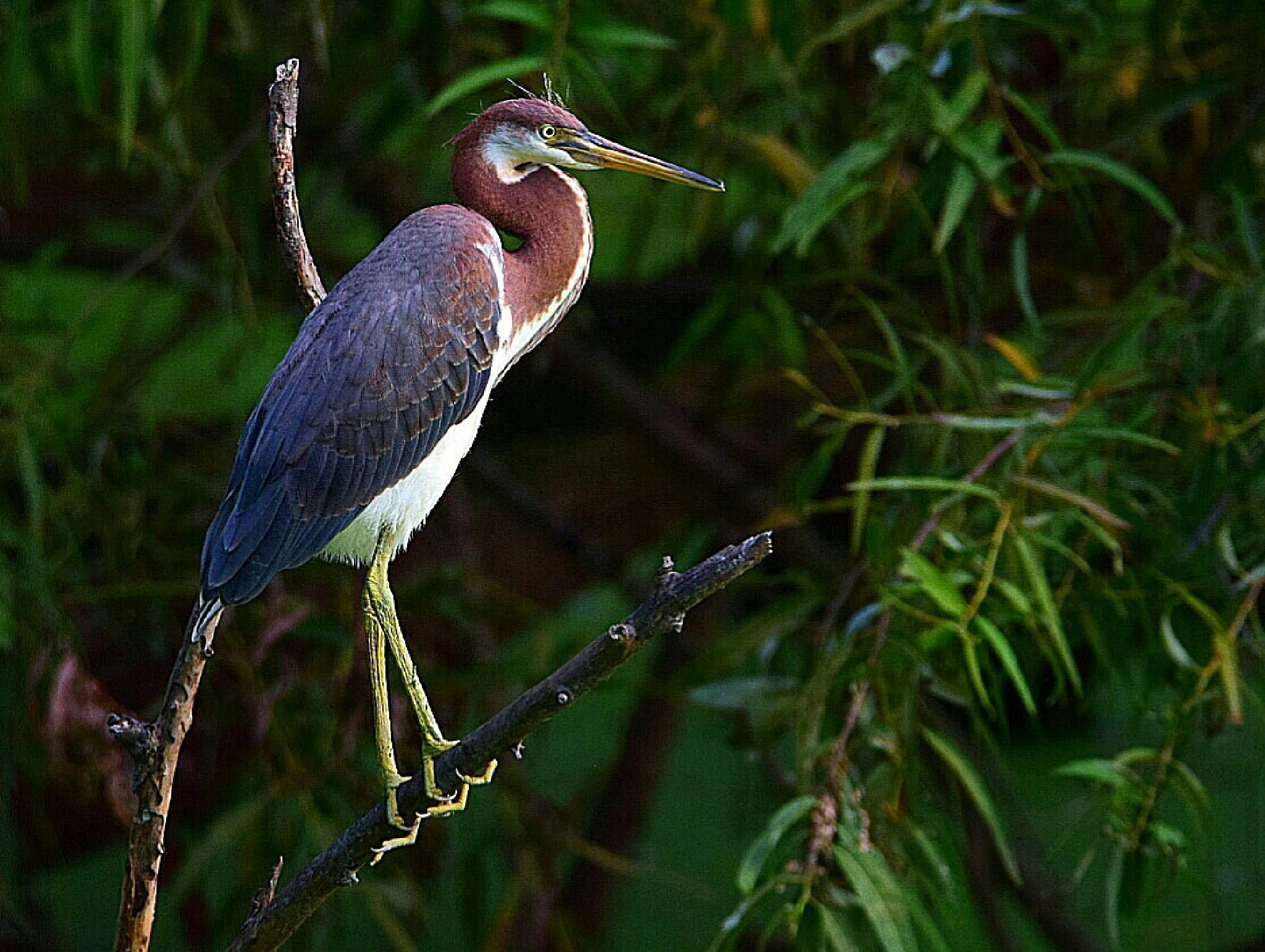 Tricolor Heron by Tom Kitchen