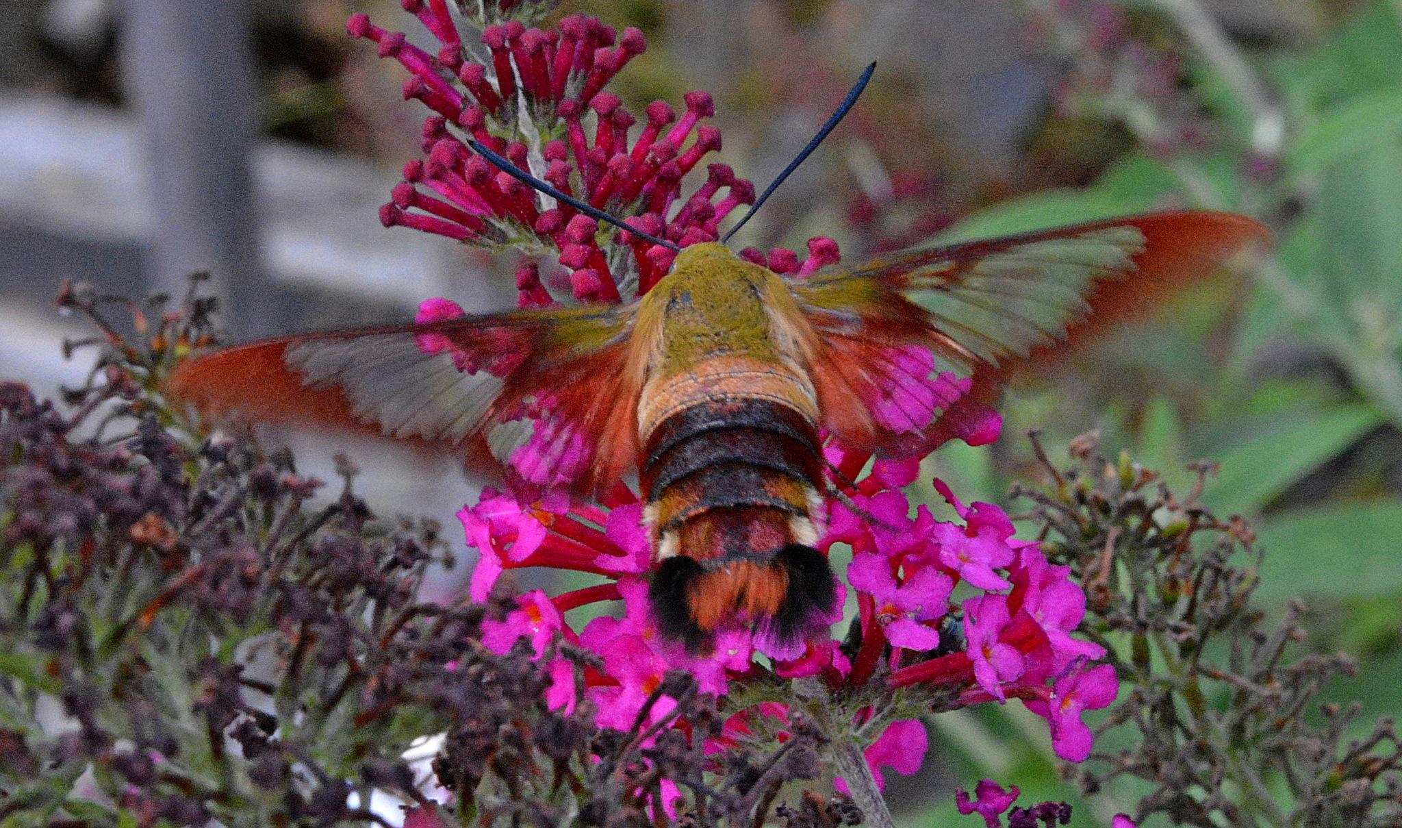 Hummingbird Hawk moth by M.P.Goepel