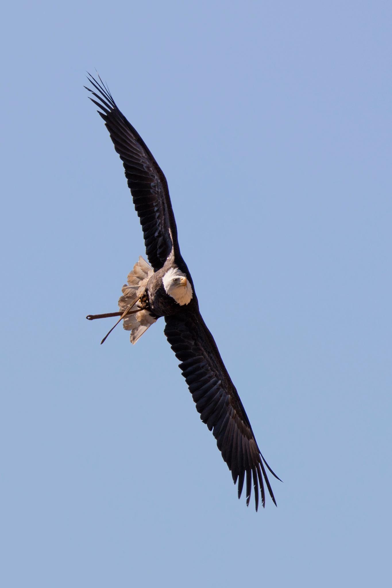 Birds of Prey Zoo Amneville - Bald Eagle by BerndStephan