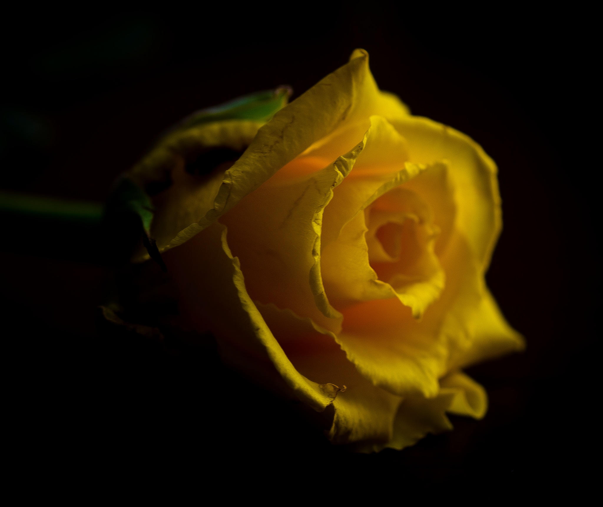 Yellow rose by JACRIS