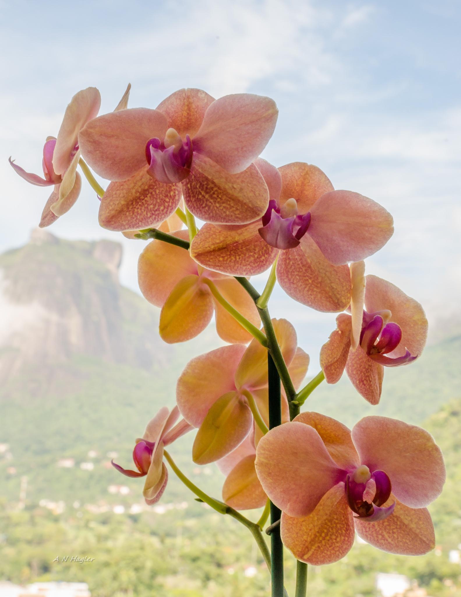 orchid & Gavea Rock by allenhagler59663852