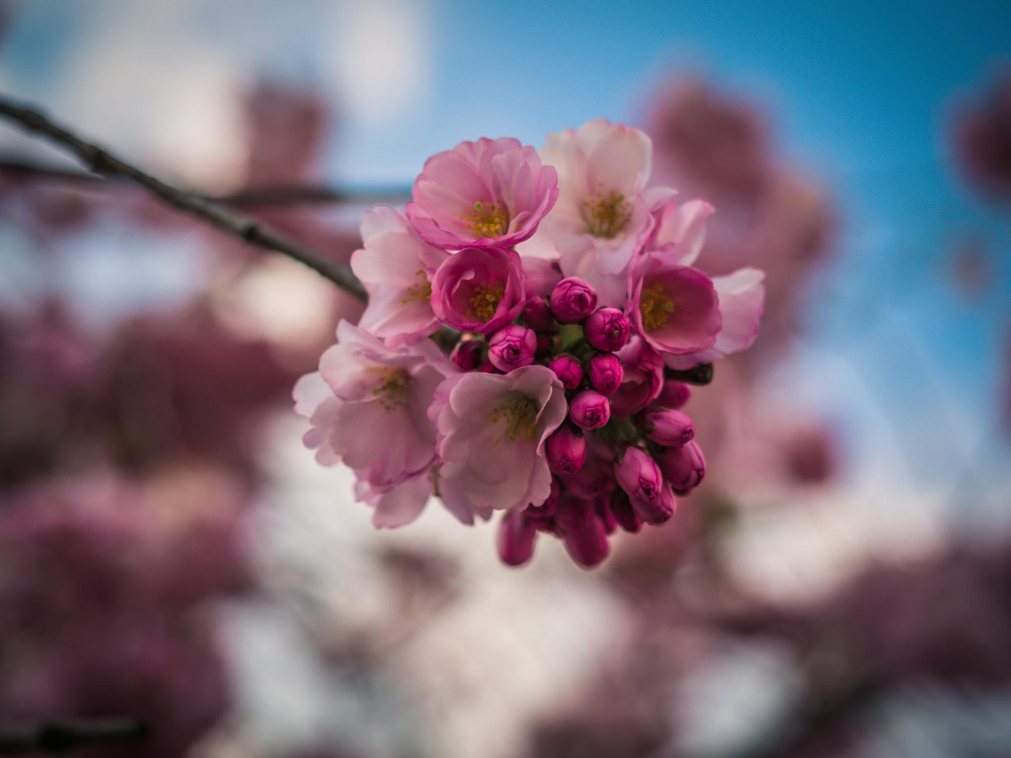 cherry blossoms by Oliver Penack