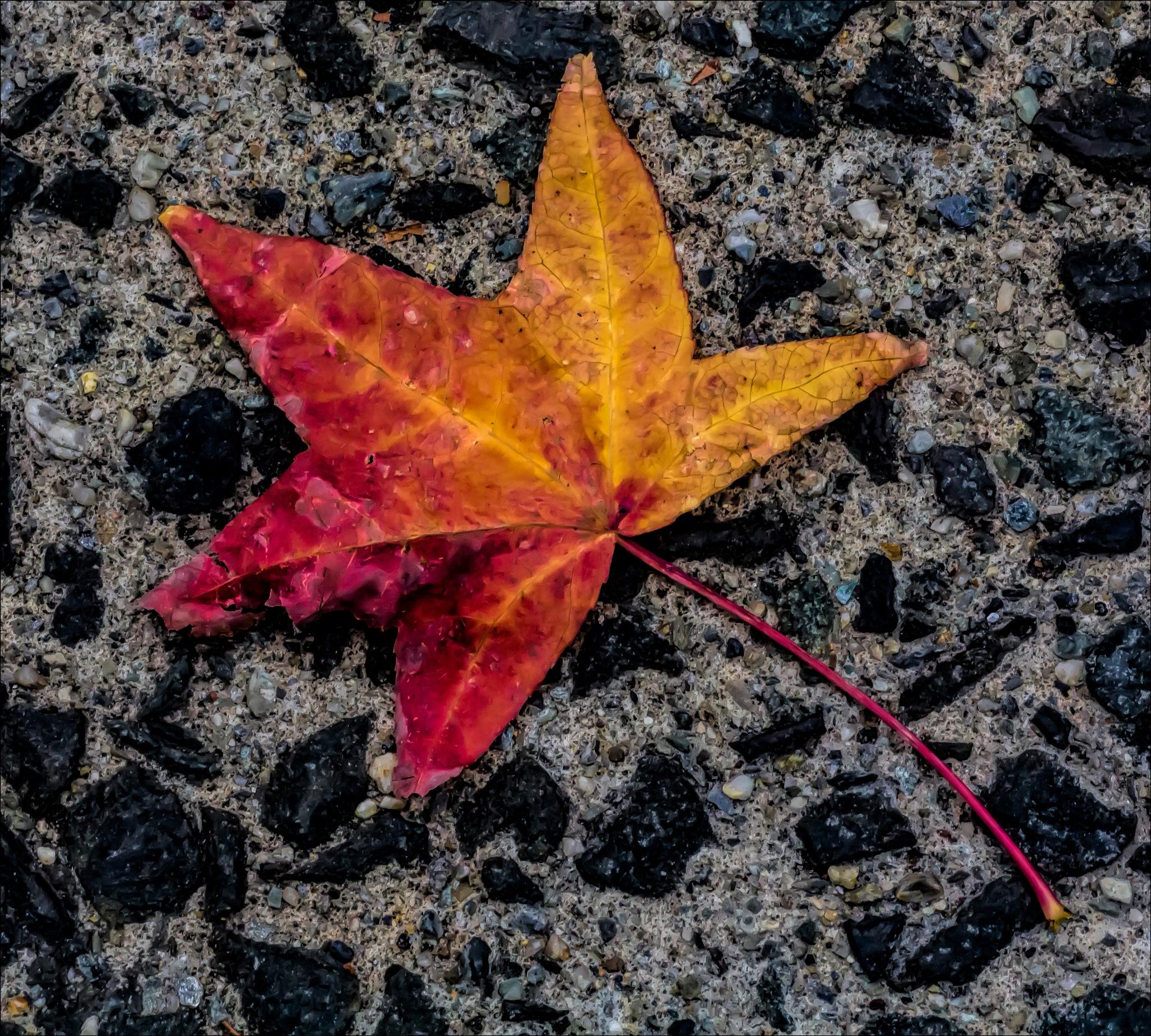 Fall Leaf on Sidewalk by robertullmann