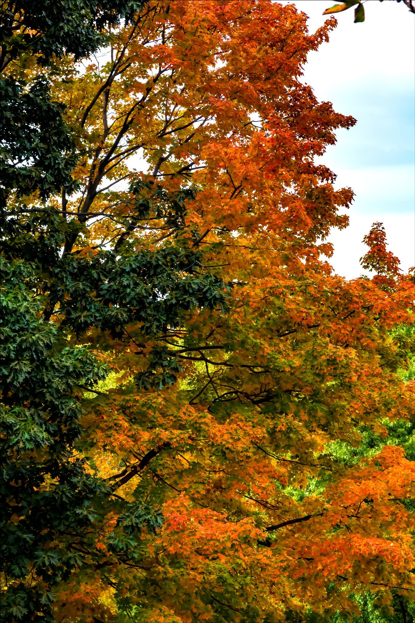 Autumn Trees  by robertullmann