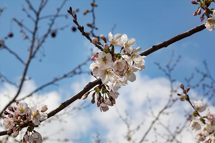 Cherry Blossoms by robertullmann