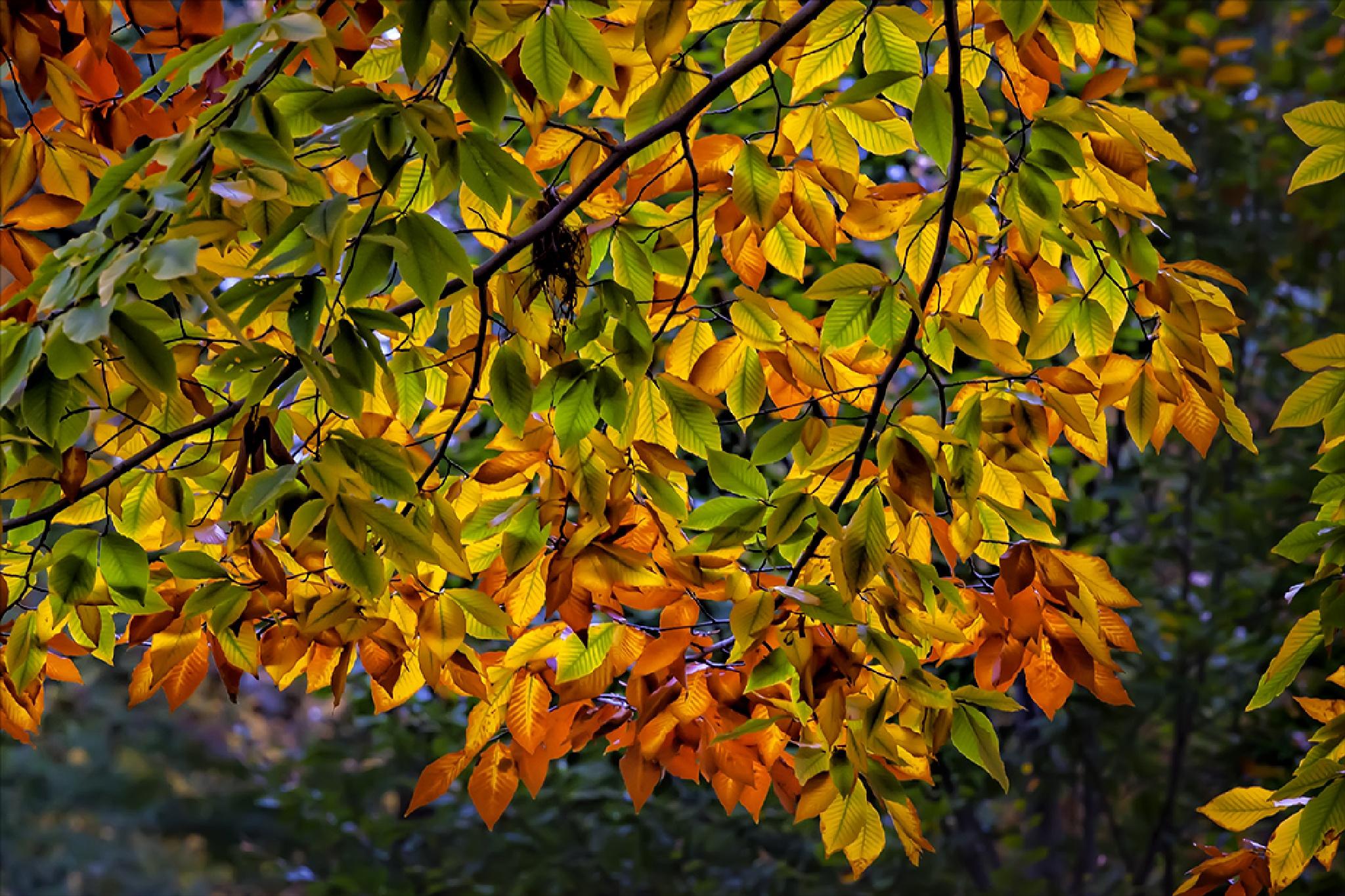 Fall Foliage by robertullmann