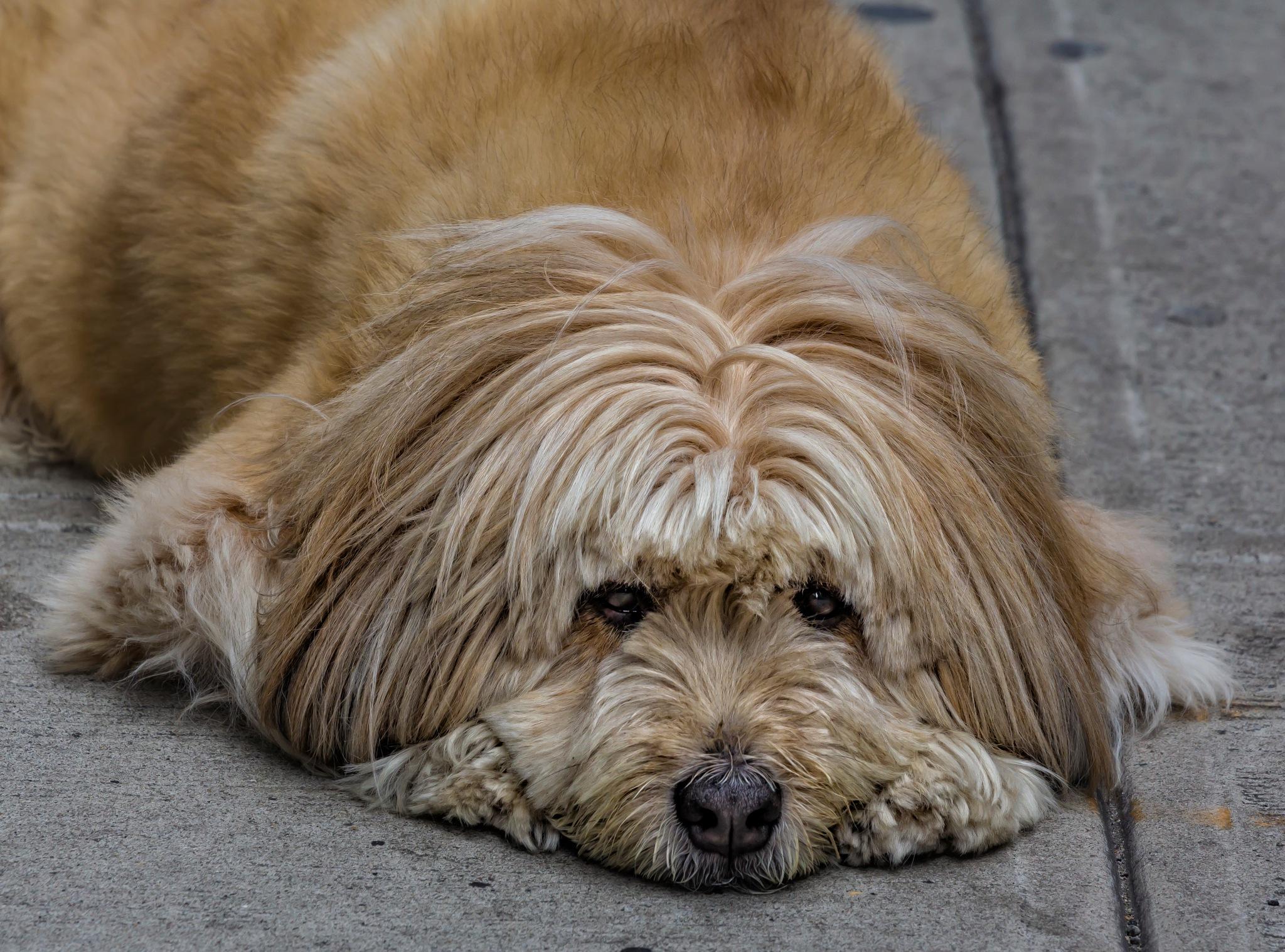 Dog at Rest by robertullmann