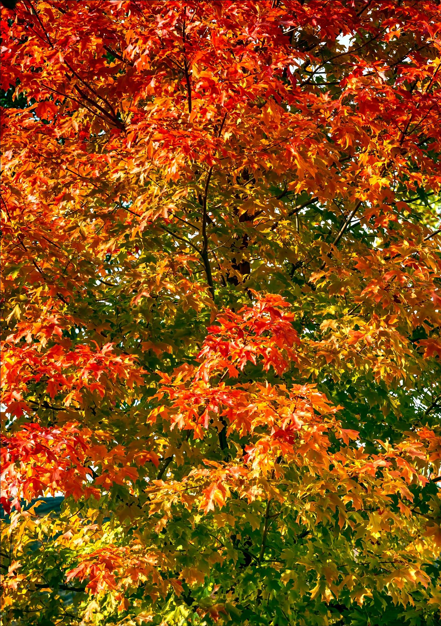 Fall Leaves by robertullmann