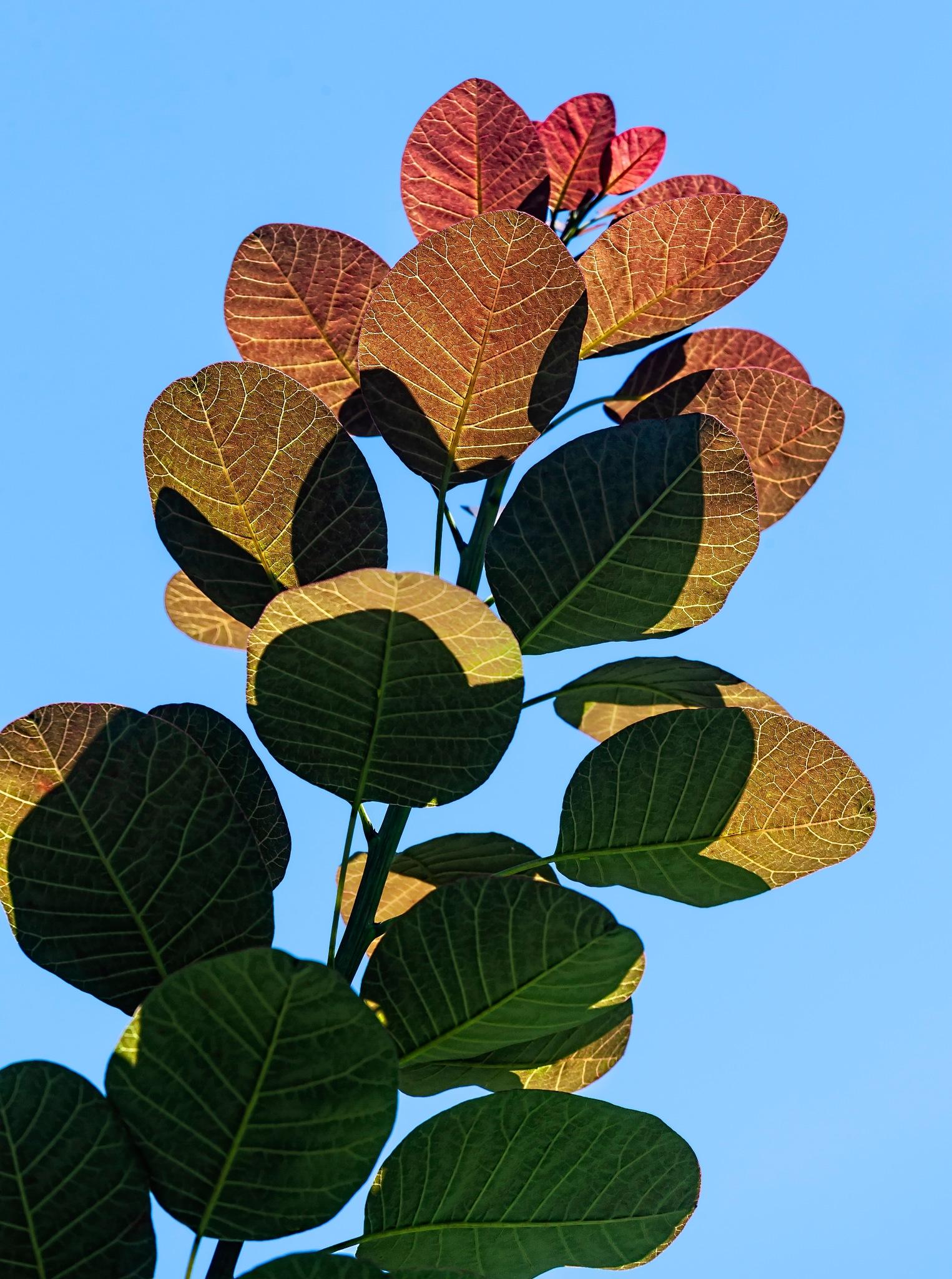 Back Lit Leaves by robertullmann