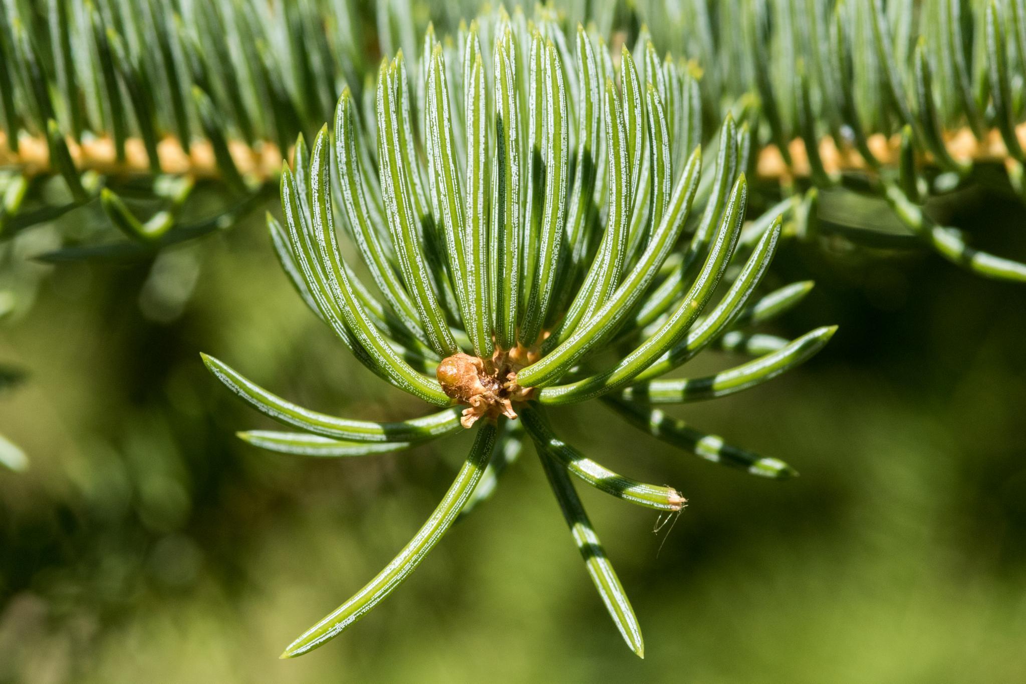 Pine by Jim Talbert