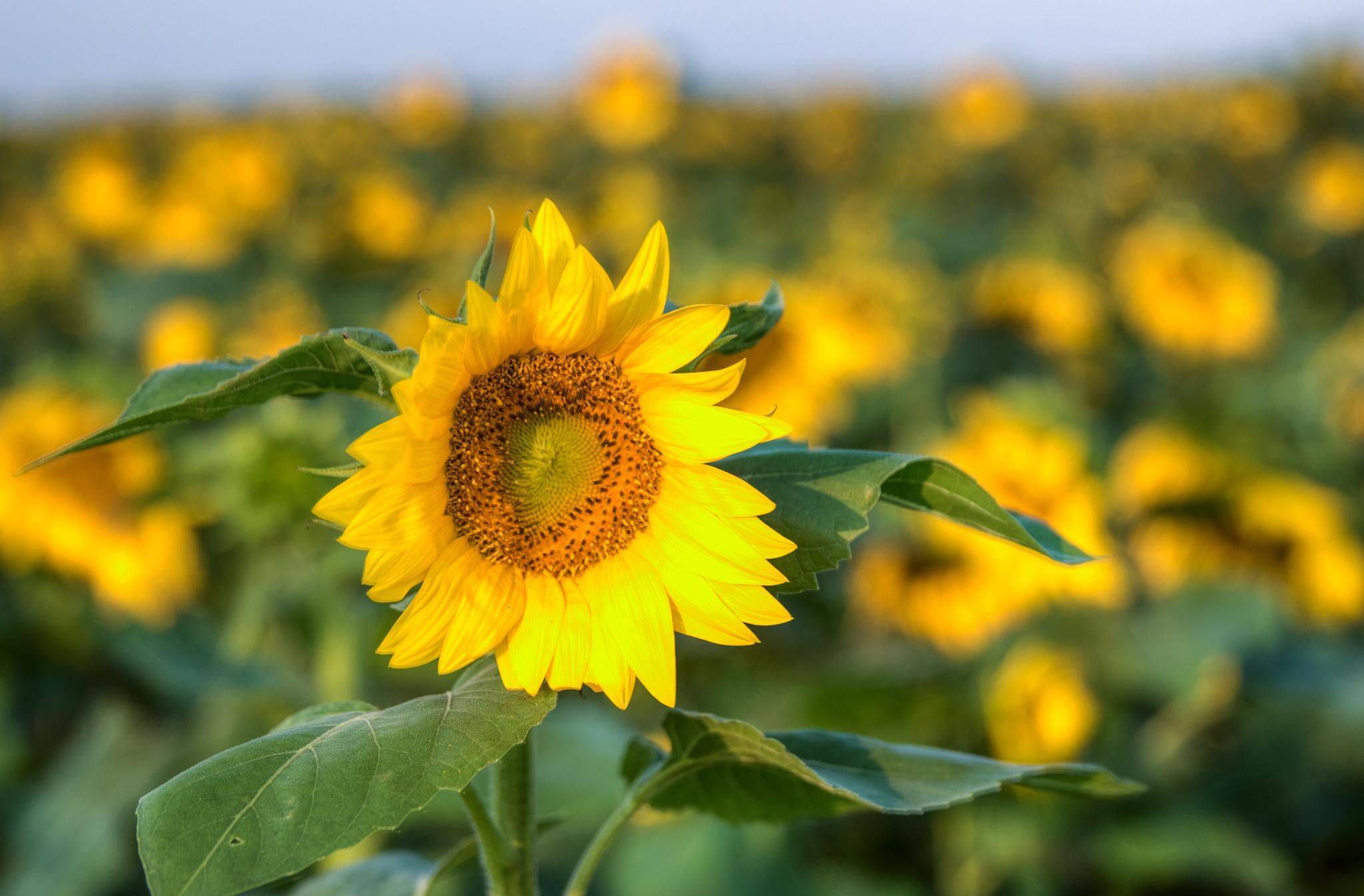 Field of Sunflowers by Jim Talbert