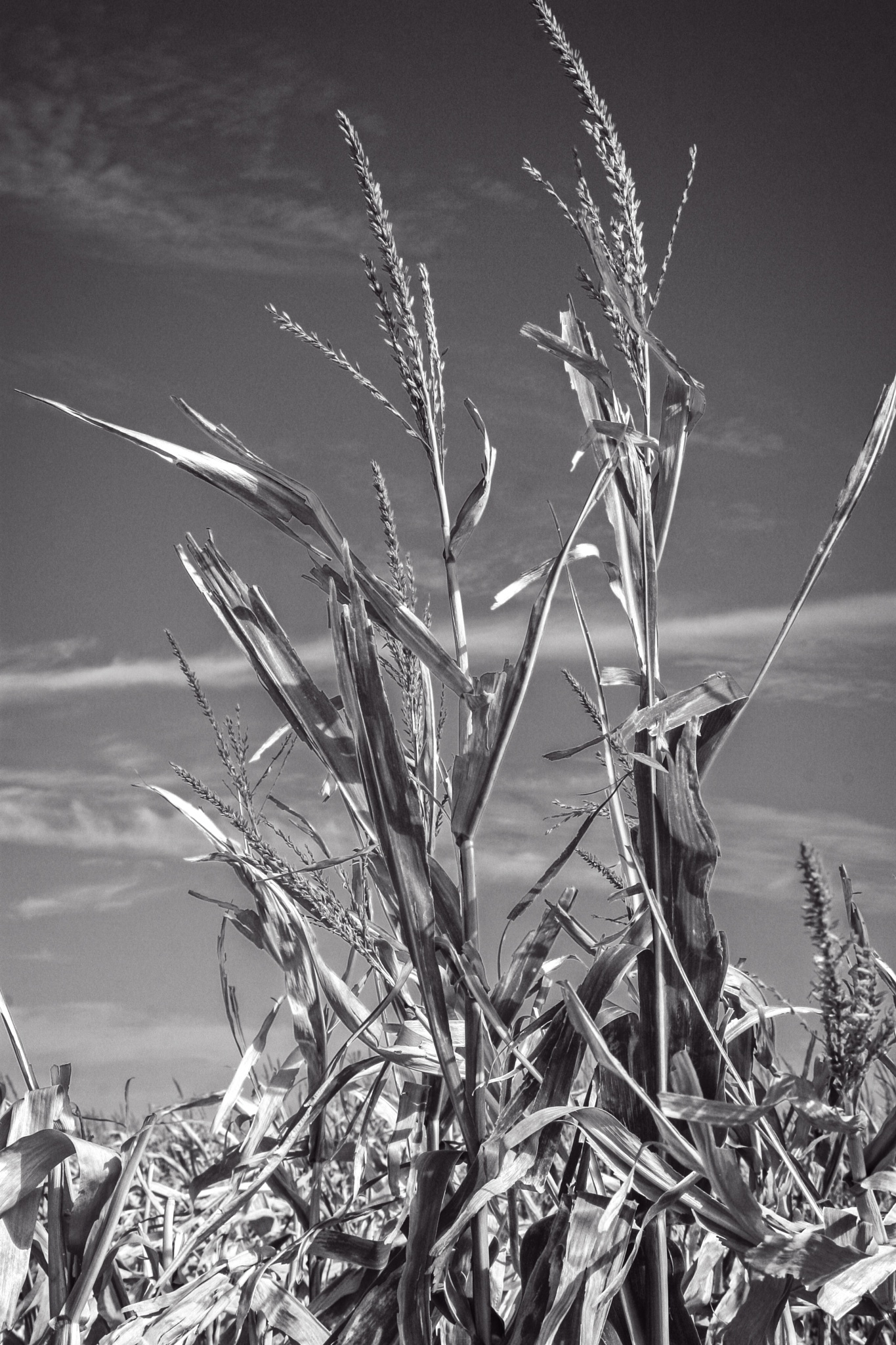 Corn nearing harvest by Jim Talbert