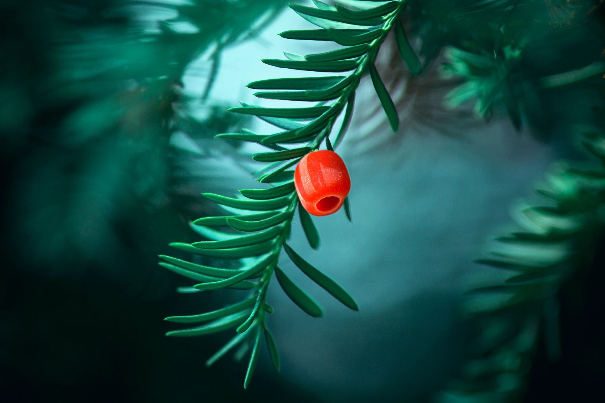baccata taxus by jDtnt