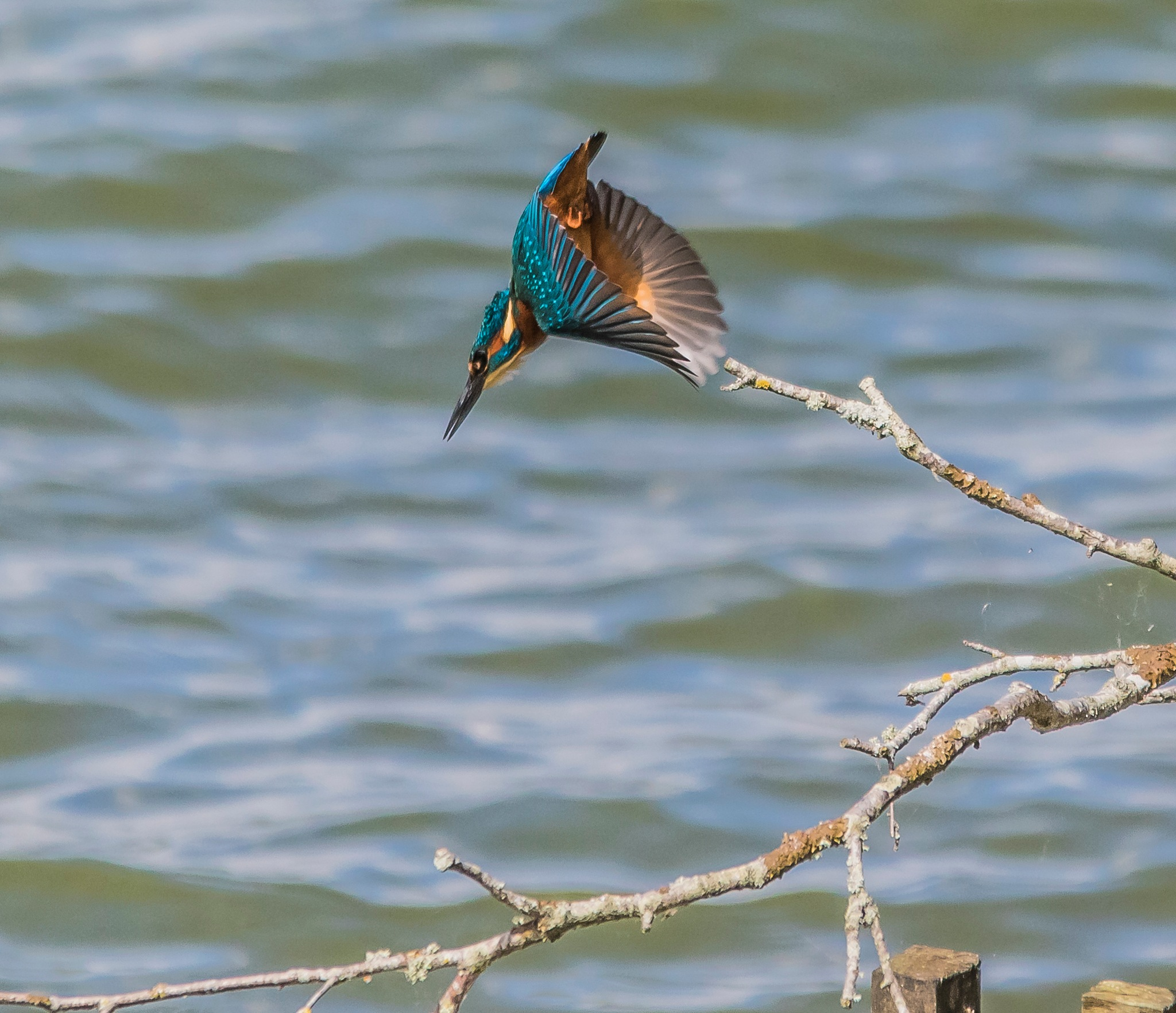 Kingfisher by Greg Edgings