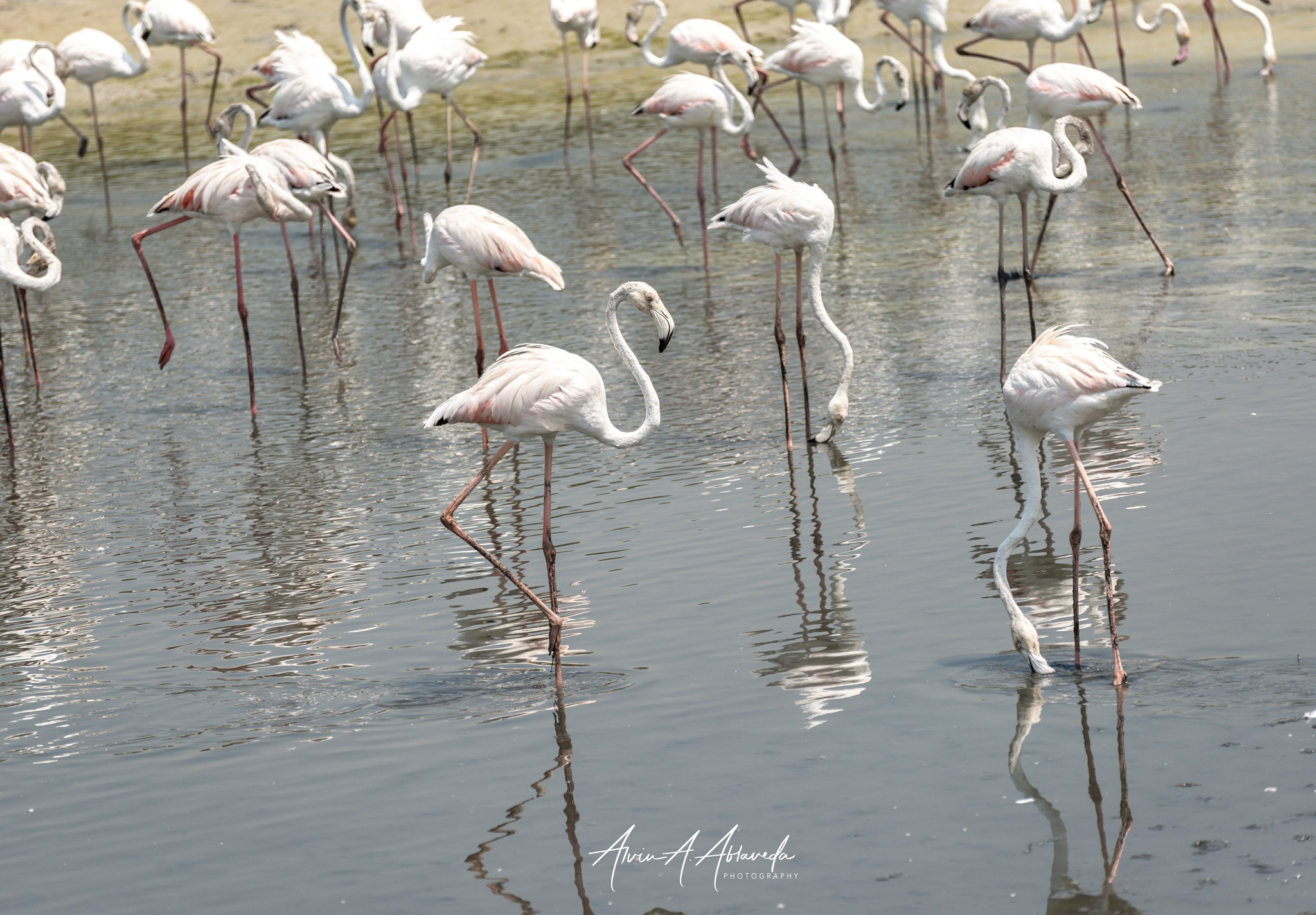 ---Flamingoes-II--- by Alvin A. Ablaneda Photography