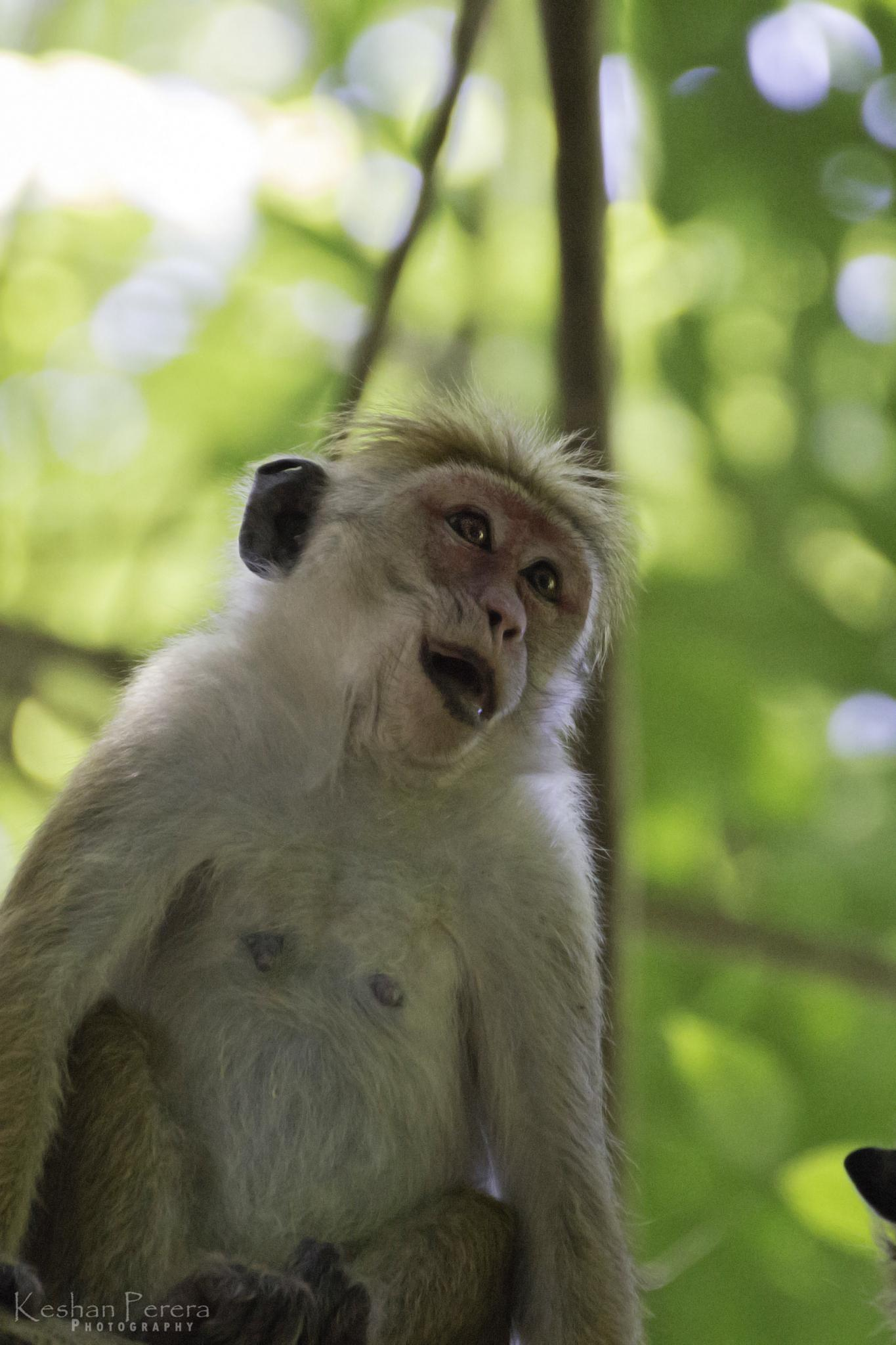 ~LOL Monkey~ by Keshan Perera