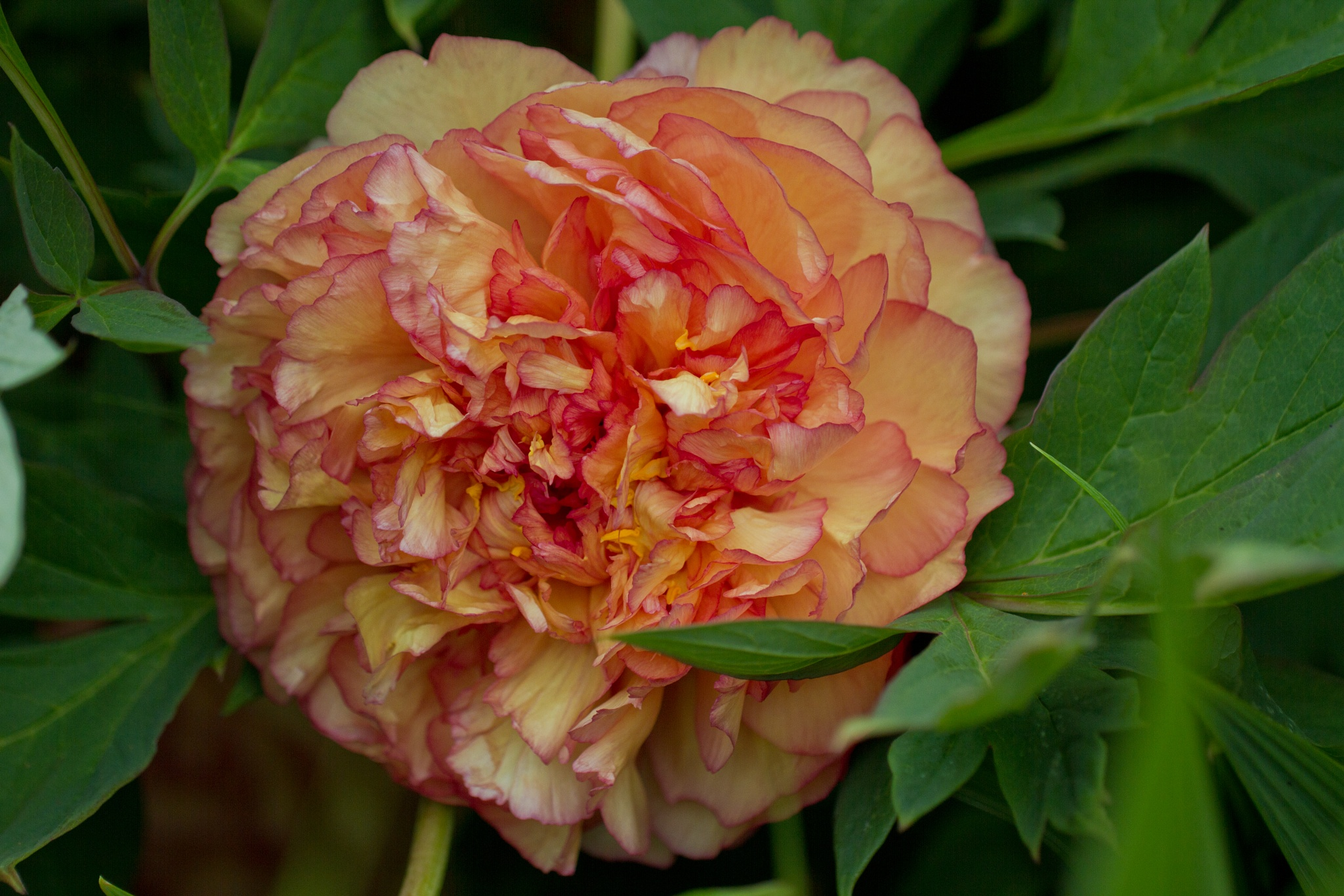Peony by Andrew Fairclough