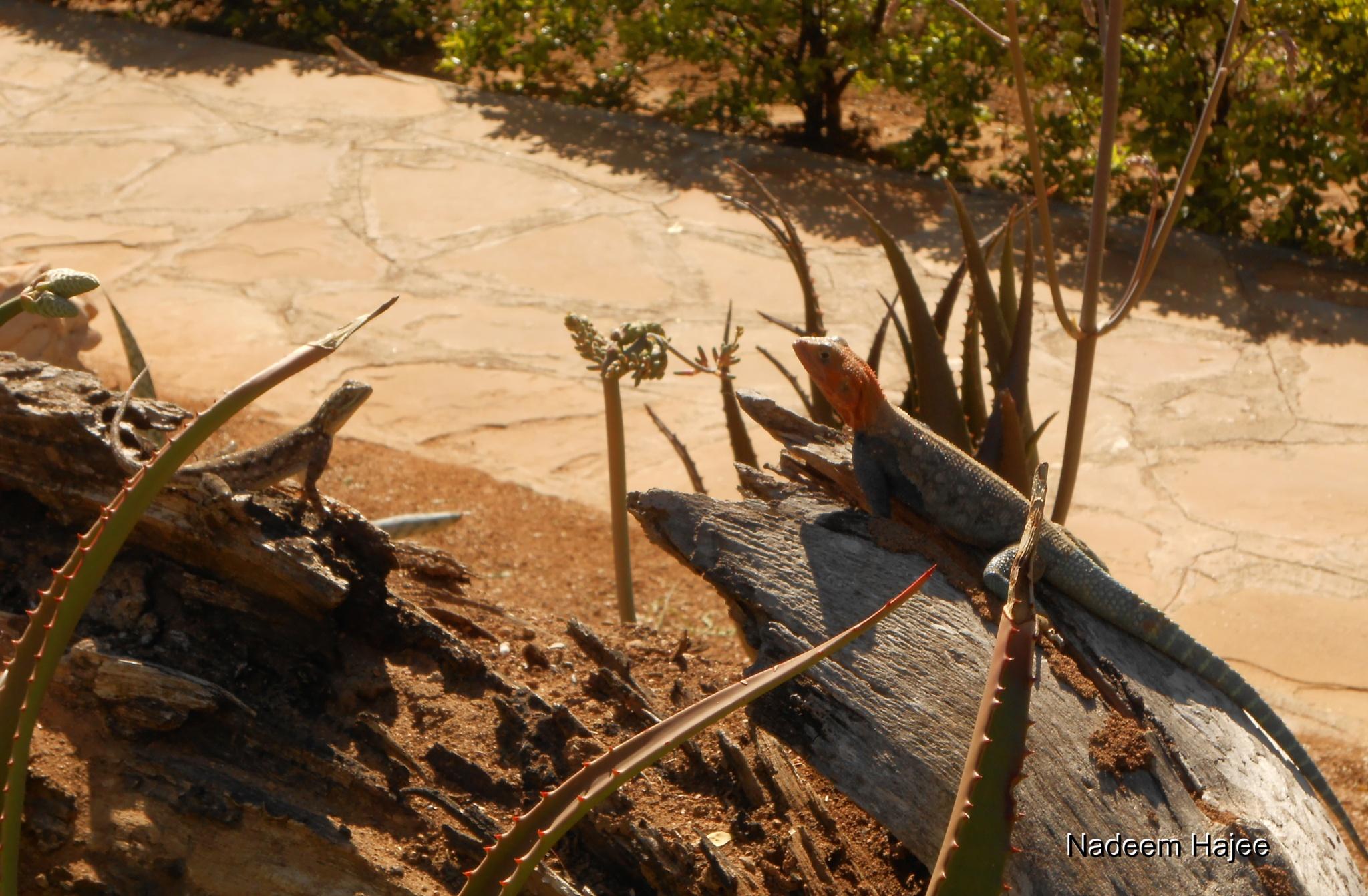 Lizard Enjoying The Sun by Nadeem Hajee