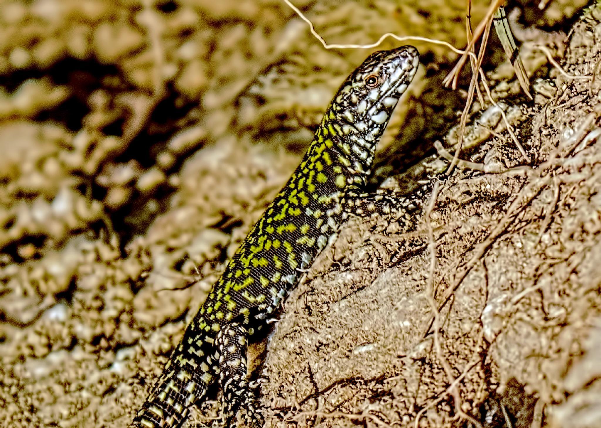 Lizard by tonixjesse