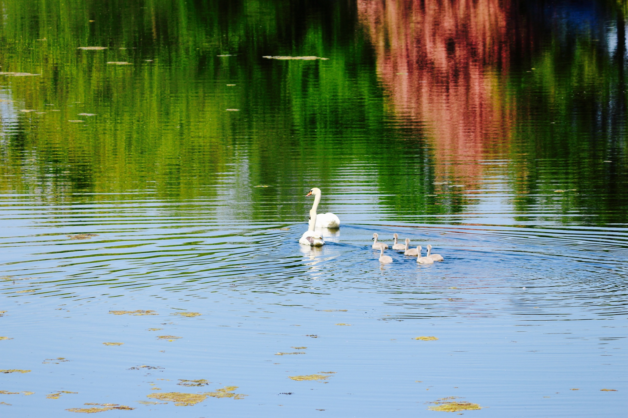 A swan family  by Terry Reynolds