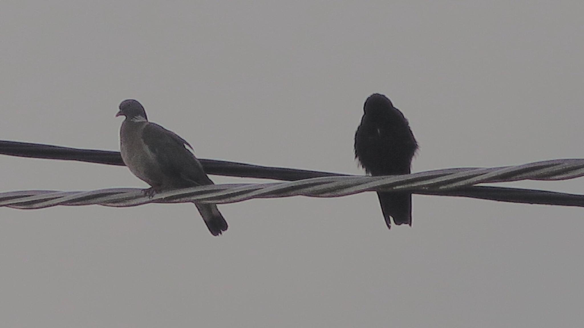 Pigeon and a rook by Terry Reynolds