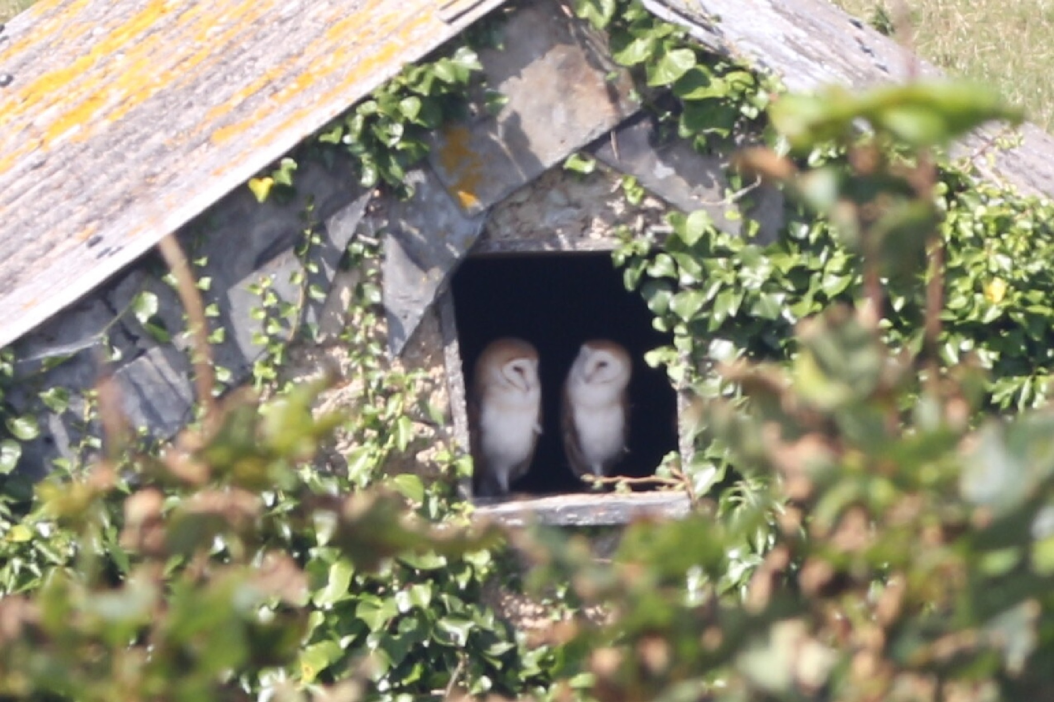 Two Barn Owls  by Terry Reynolds