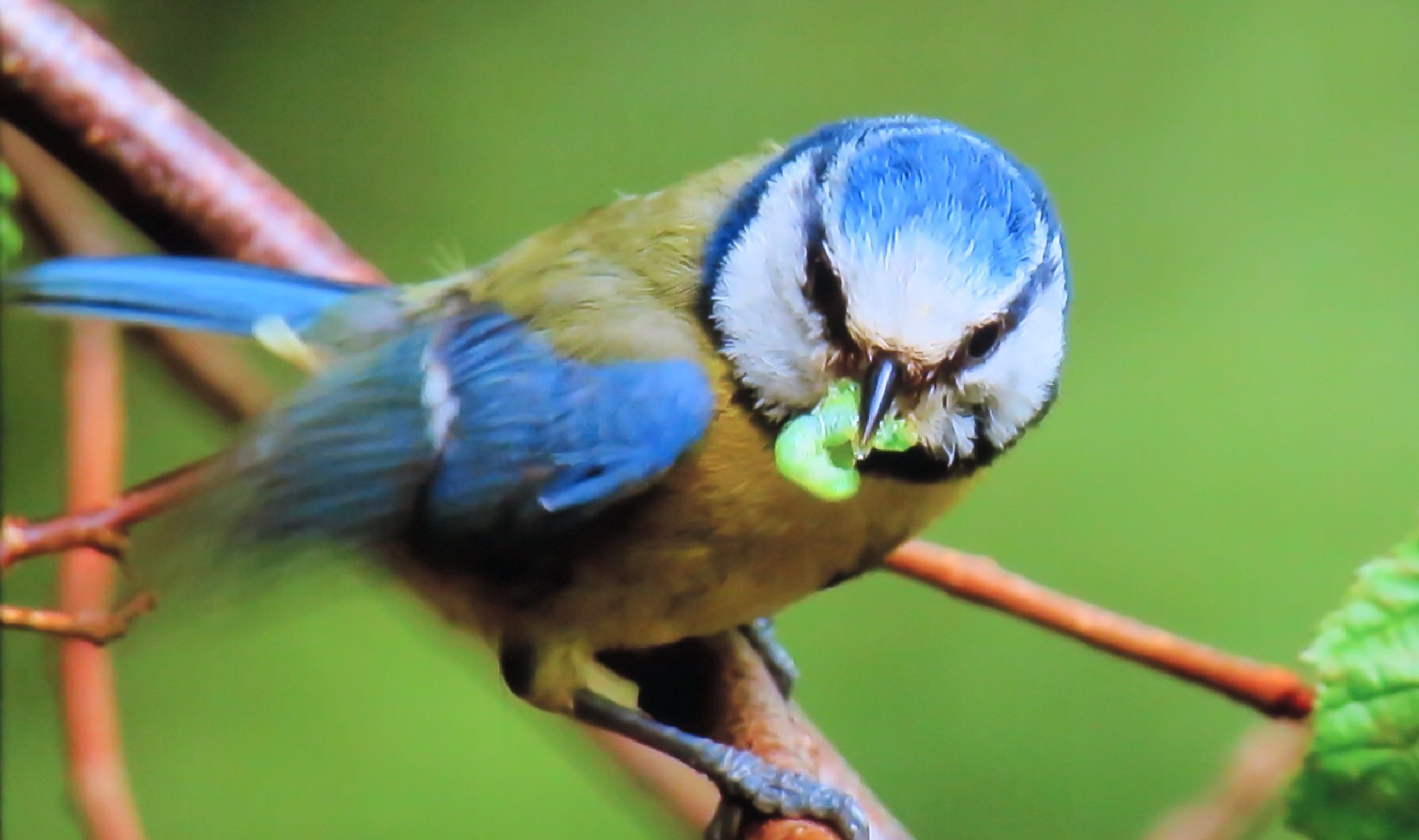 Blue tit chick  by Terry Reynolds