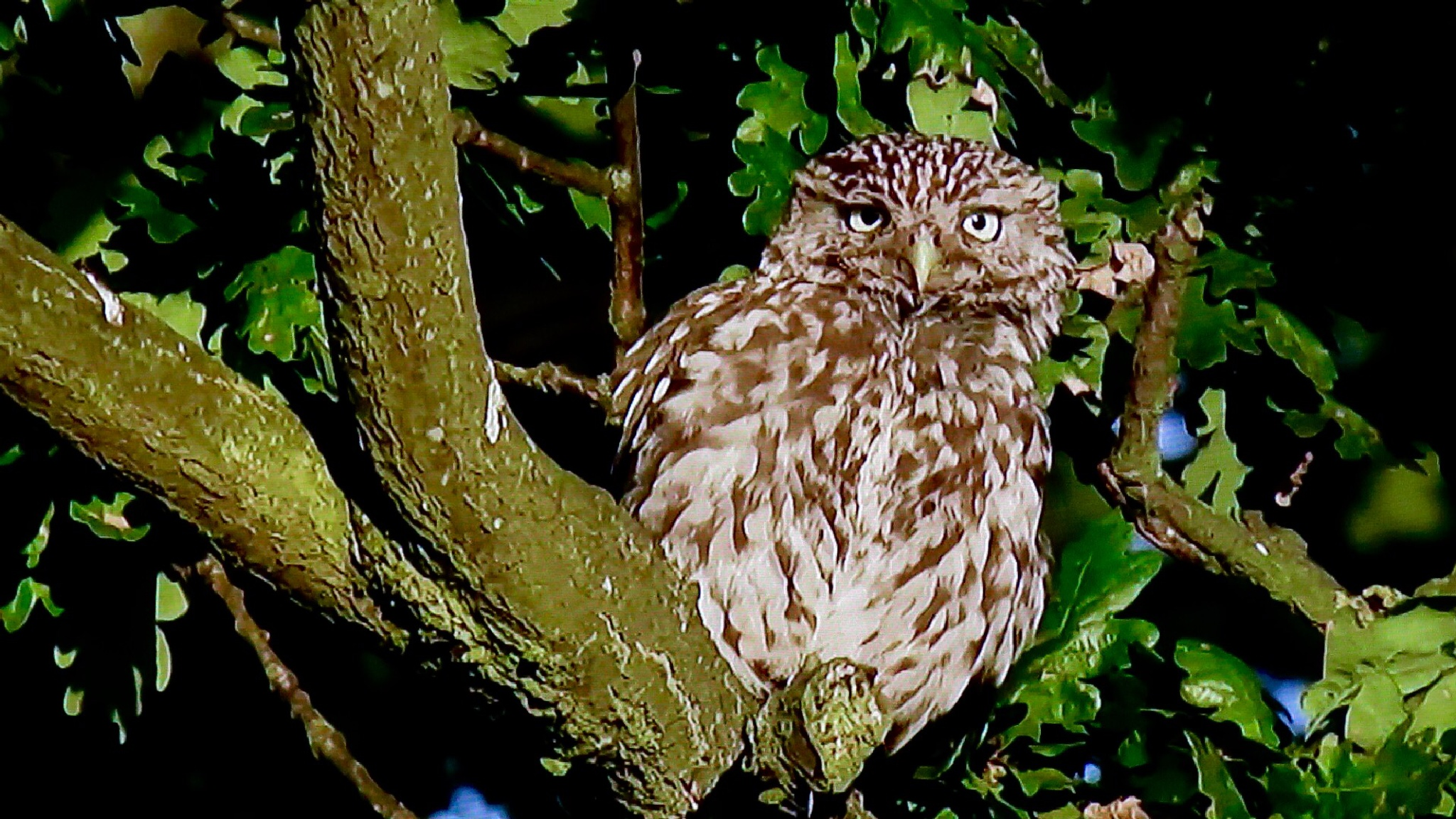 Baby owl  by Terry Reynolds