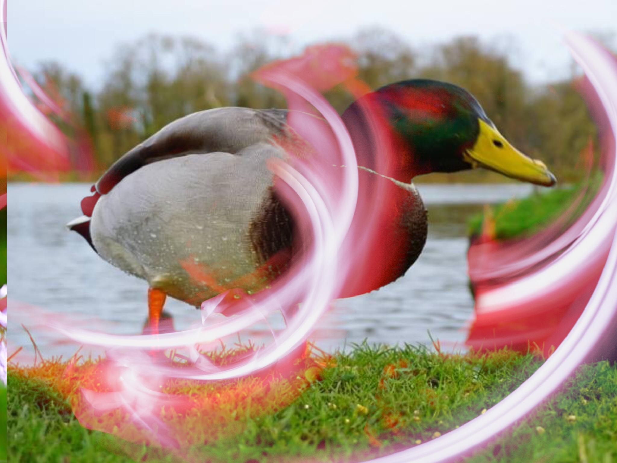 Quack Quack  by Terry Reynolds