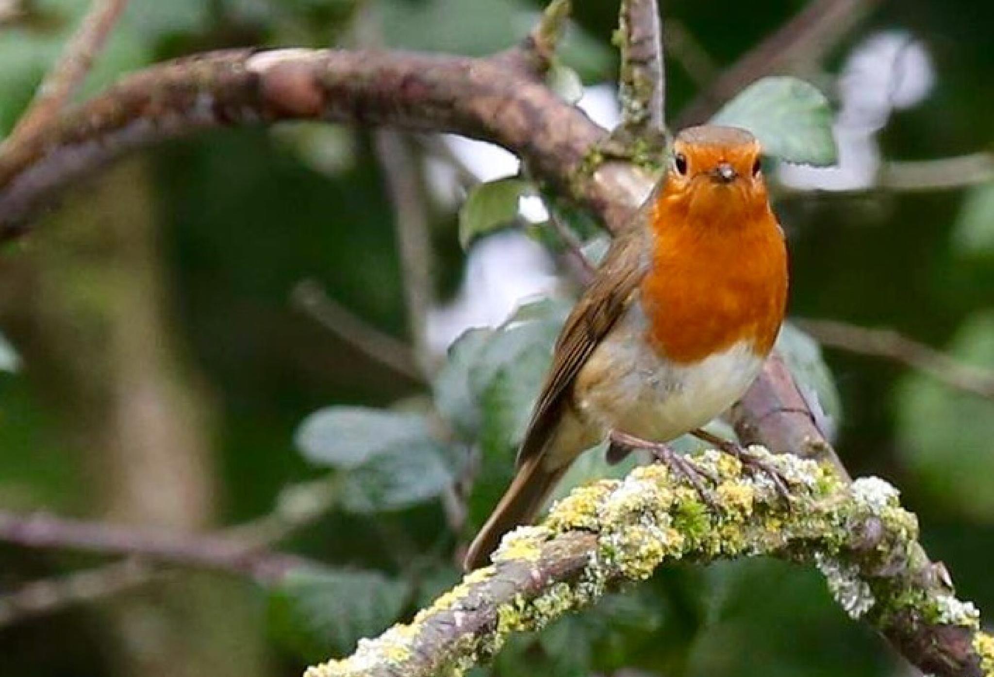 Winter robin by Terry Reynolds