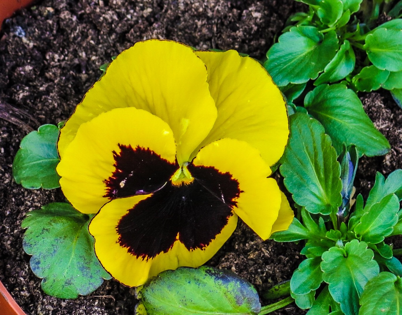 A Pansy  by Terry Reynolds