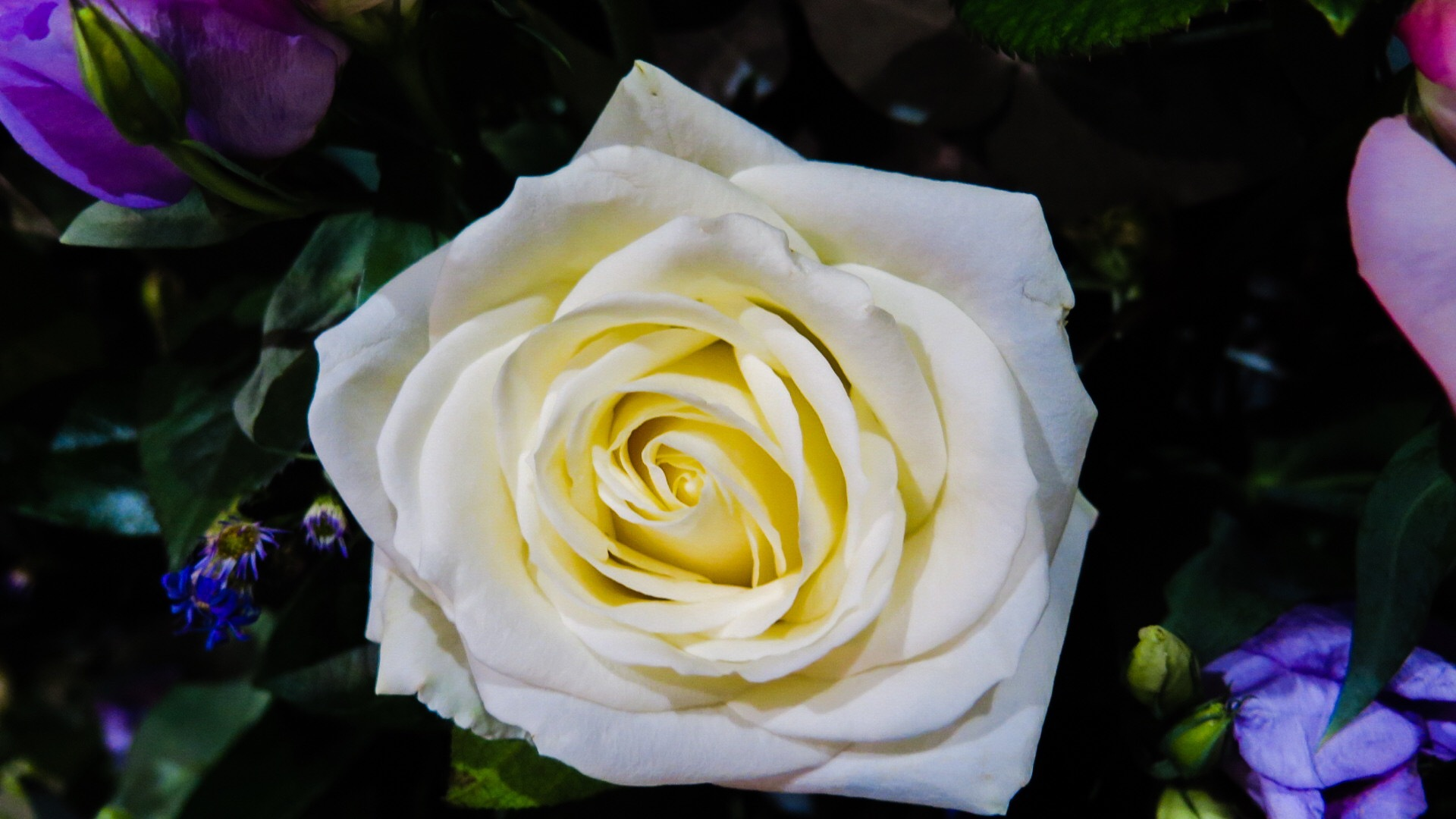 A white rose for you by Terry Reynolds