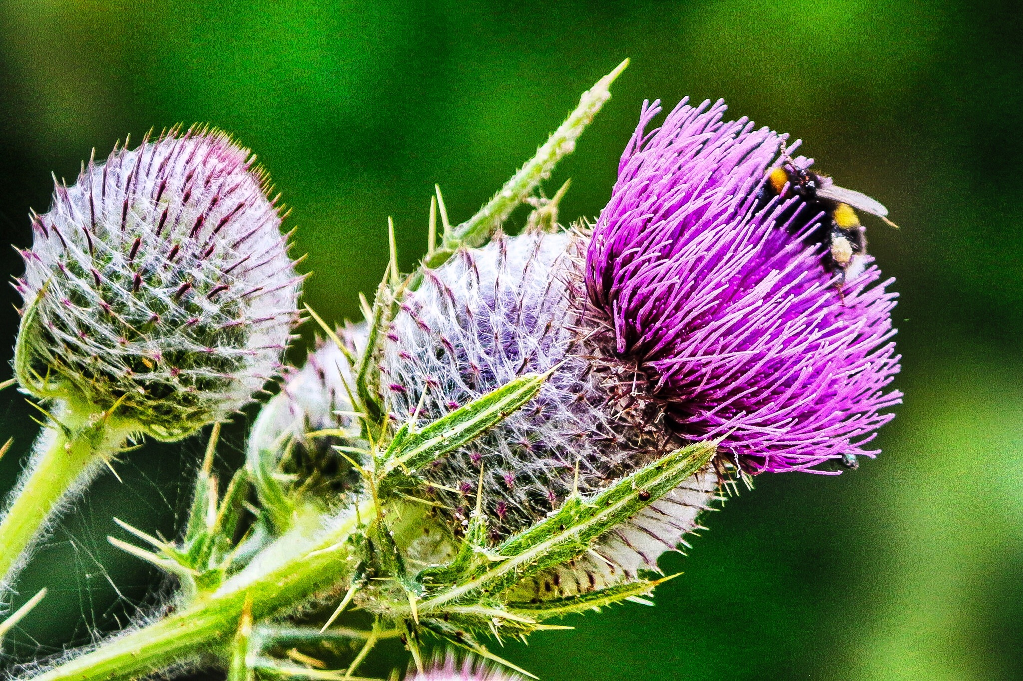 A Bee in a thistle flower by Terry Reynolds