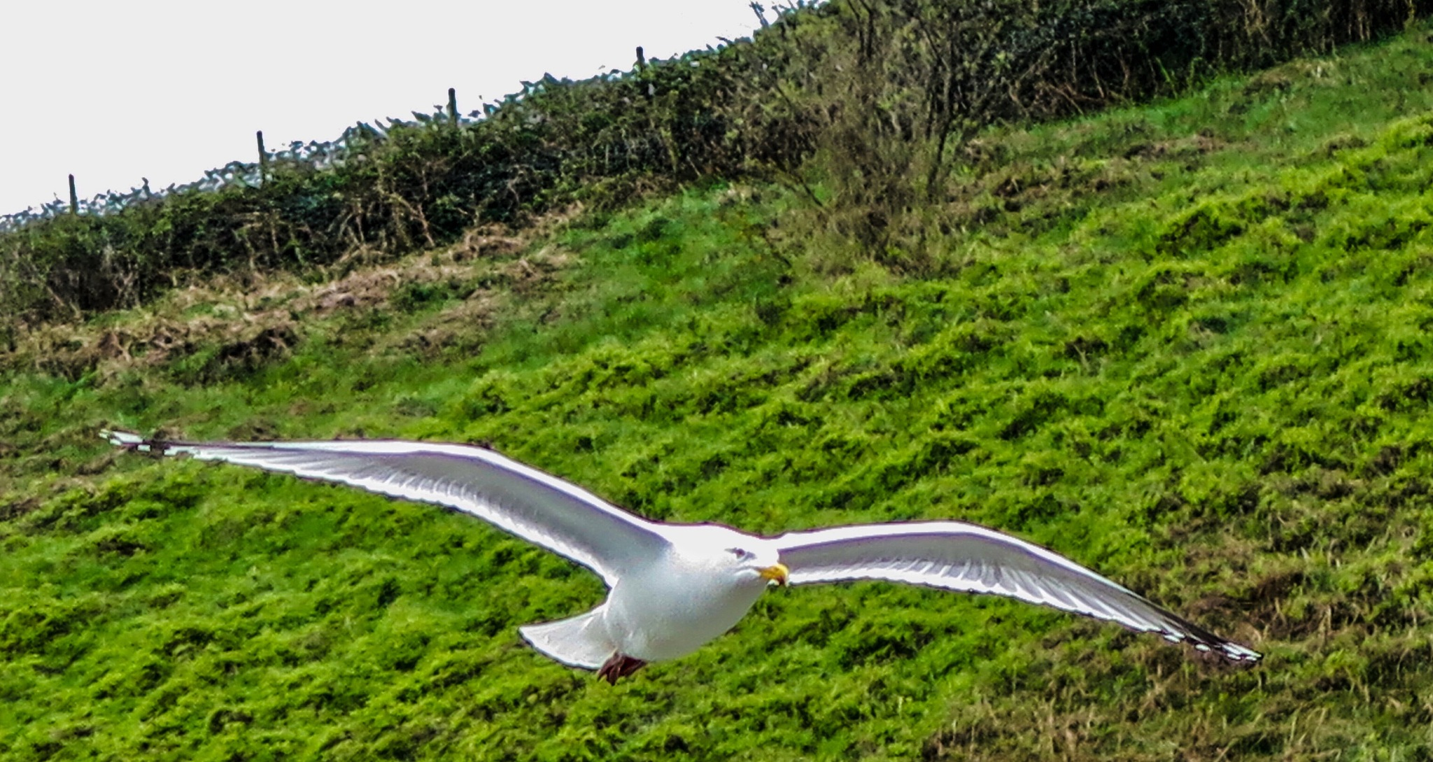 A seagull in flight by Terry Reynolds