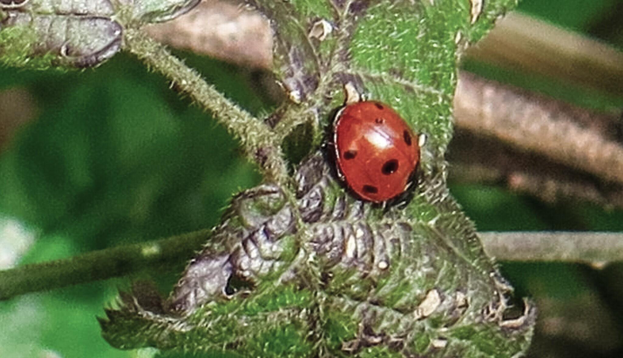 Ladybird  by Terry Reynolds