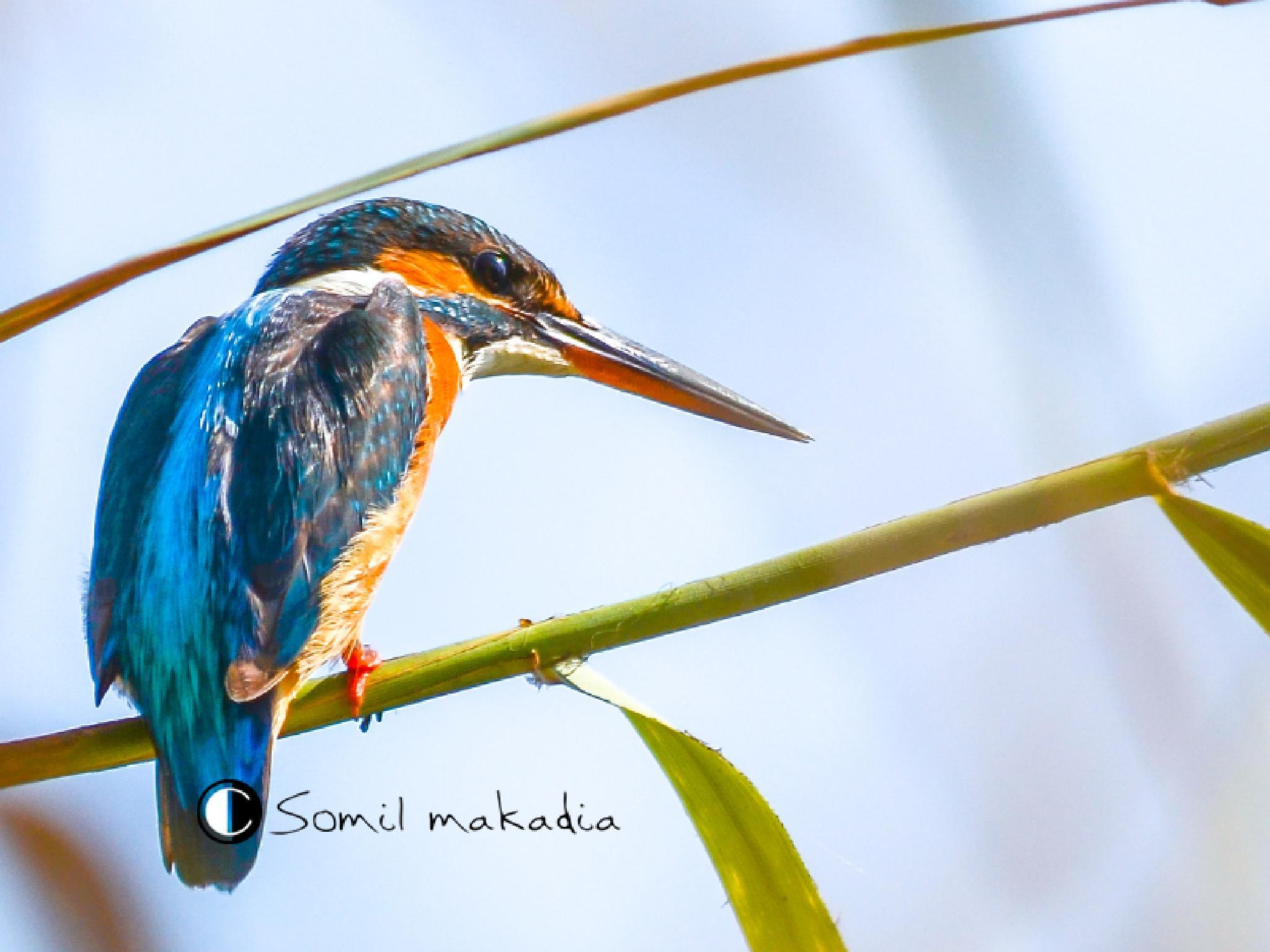 kingfishar by somil k. makadia