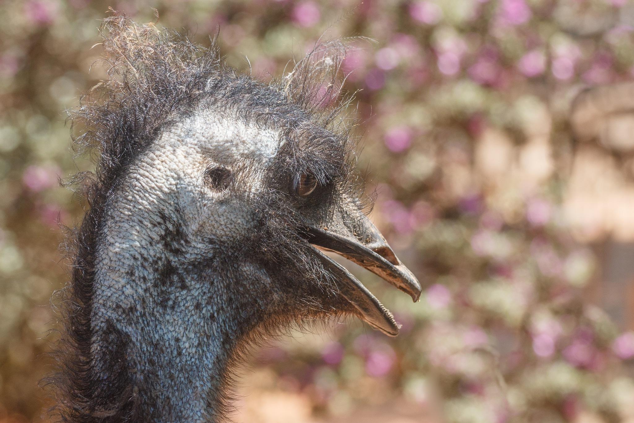 Emu in a little Zoo of t. Raanana, Israel by Anatoly Vinokurov