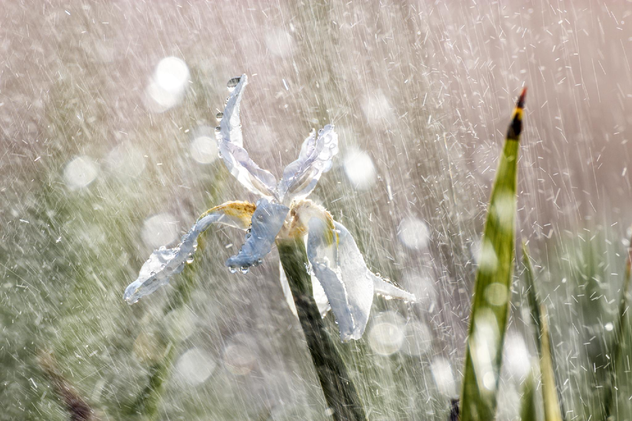 White beauty under summer rain II by Anatoly Vinokurov