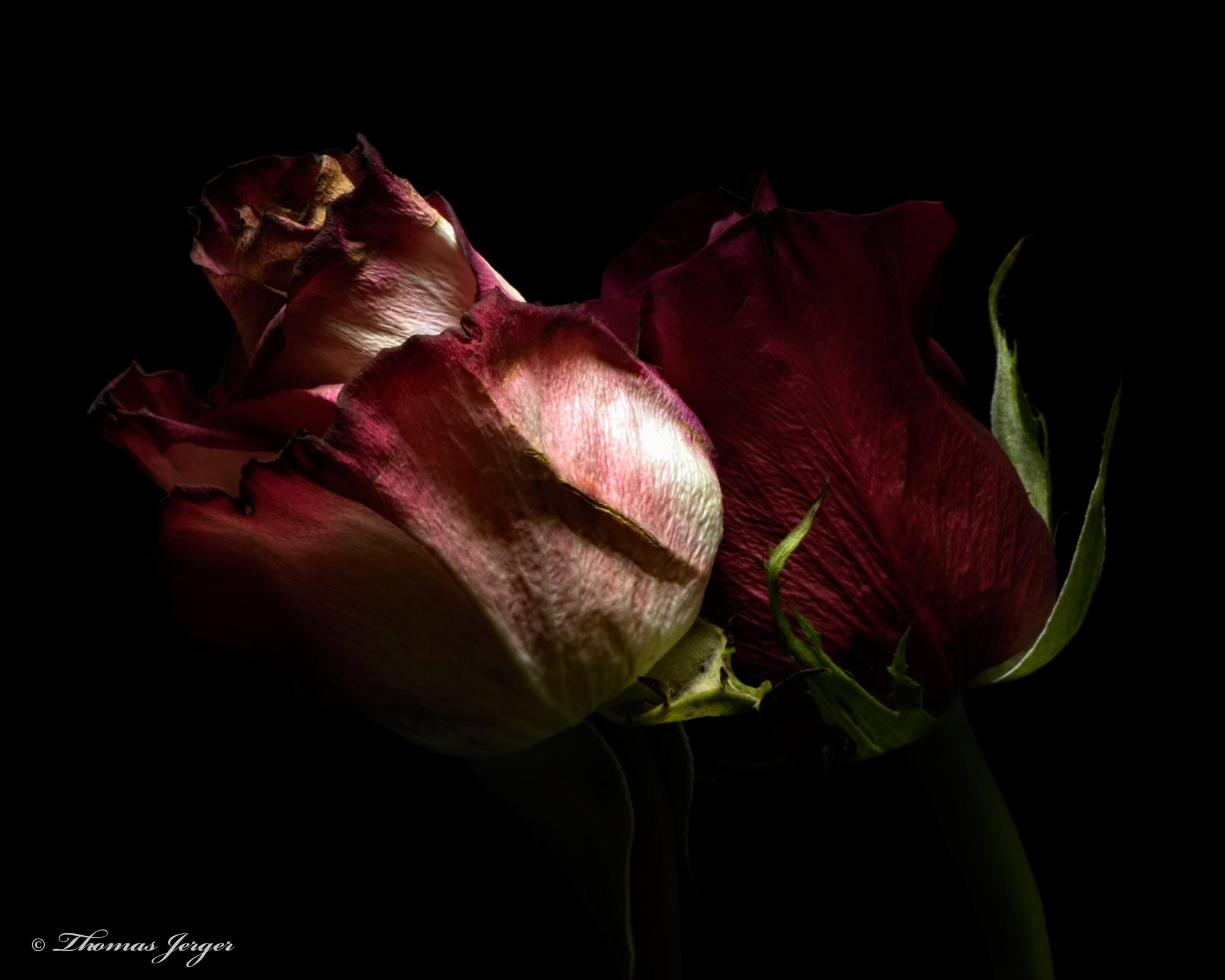 Mature Rose Couple 1017 by ThomasJerger