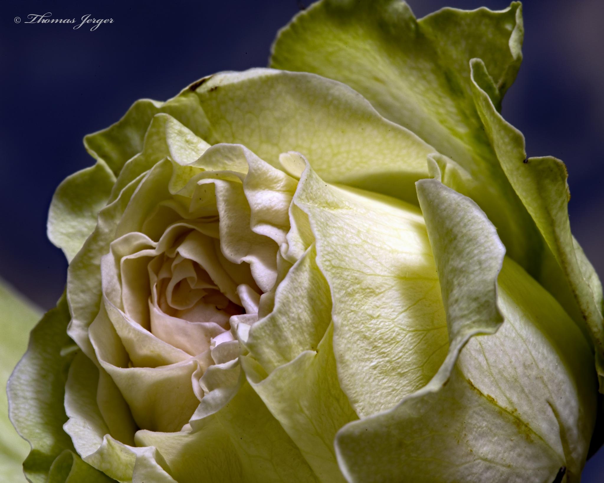 Yellow Pink Spray Rose 0202 by ThomasJerger
