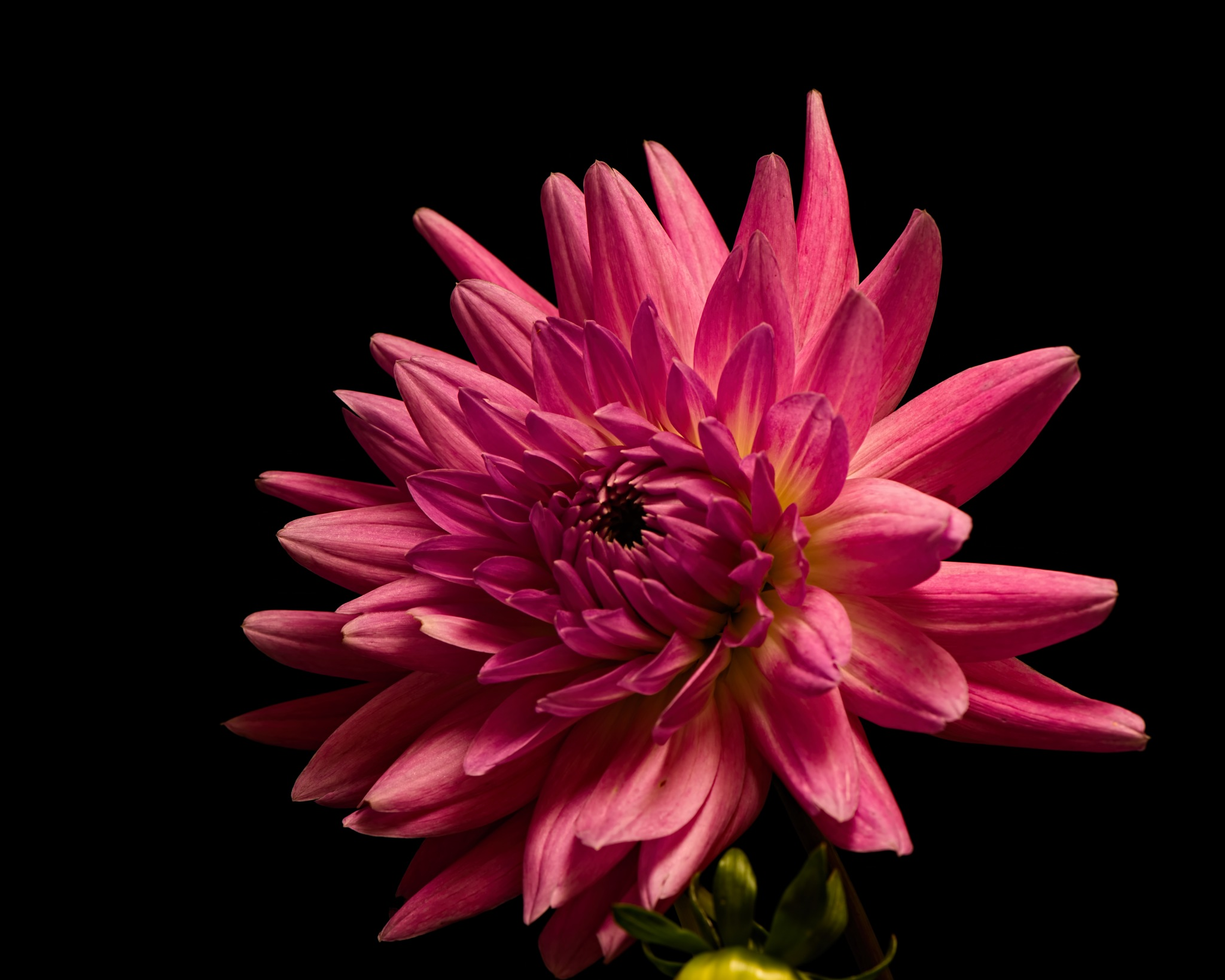 Pink Dahlia Bloom 1011 by ThomasJerger