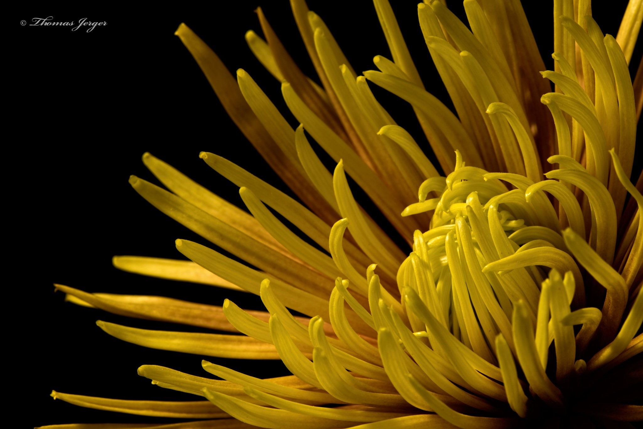 Orange-Yellow Spider Mum 0914 by ThomasJerger