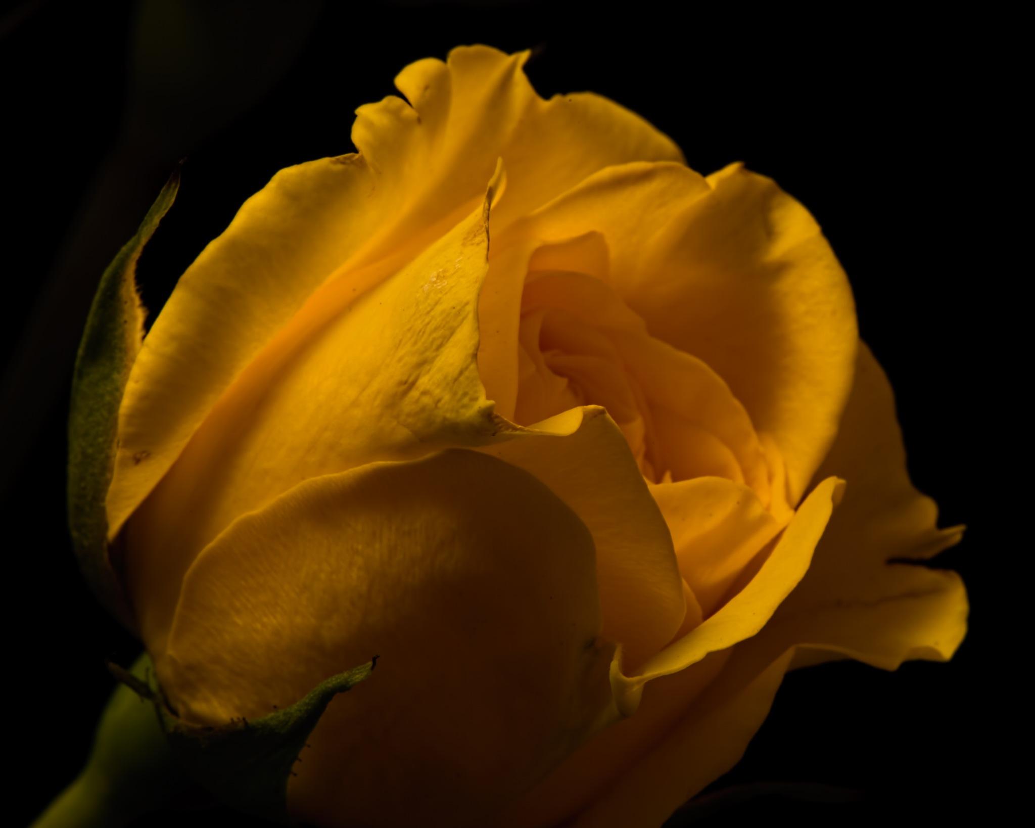 Single Yellow Rose 1104 by ThomasJerger