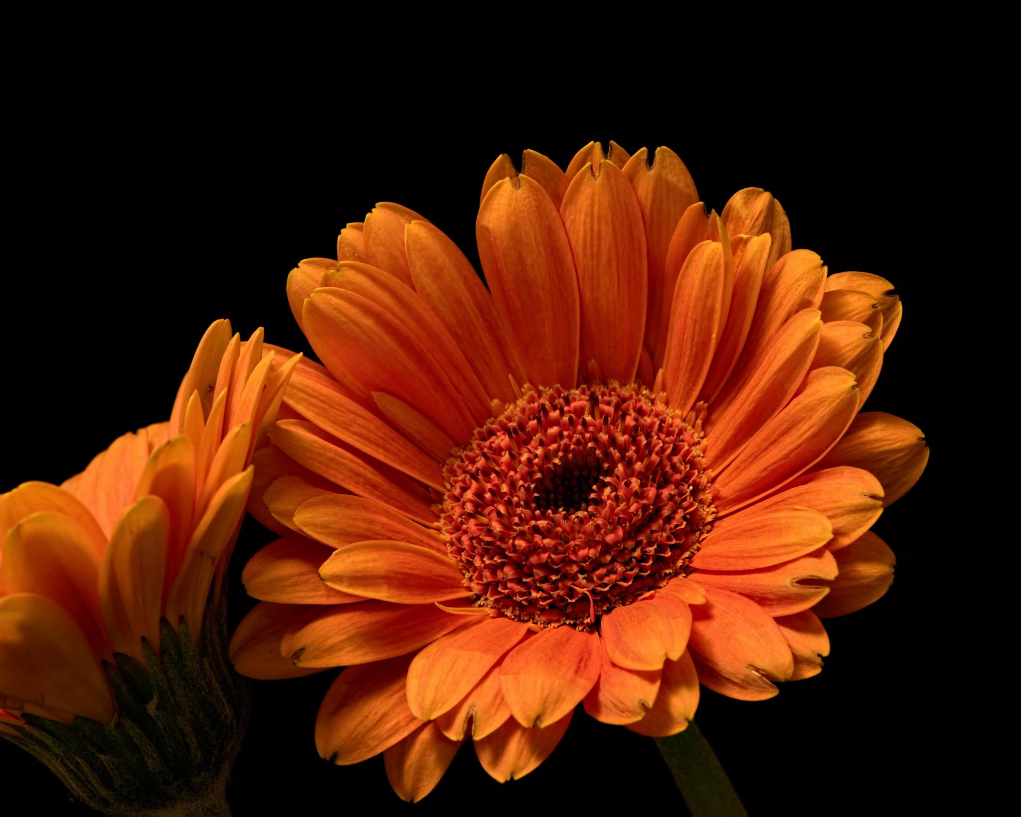 Orange Gerbera 0322 by ThomasJerger